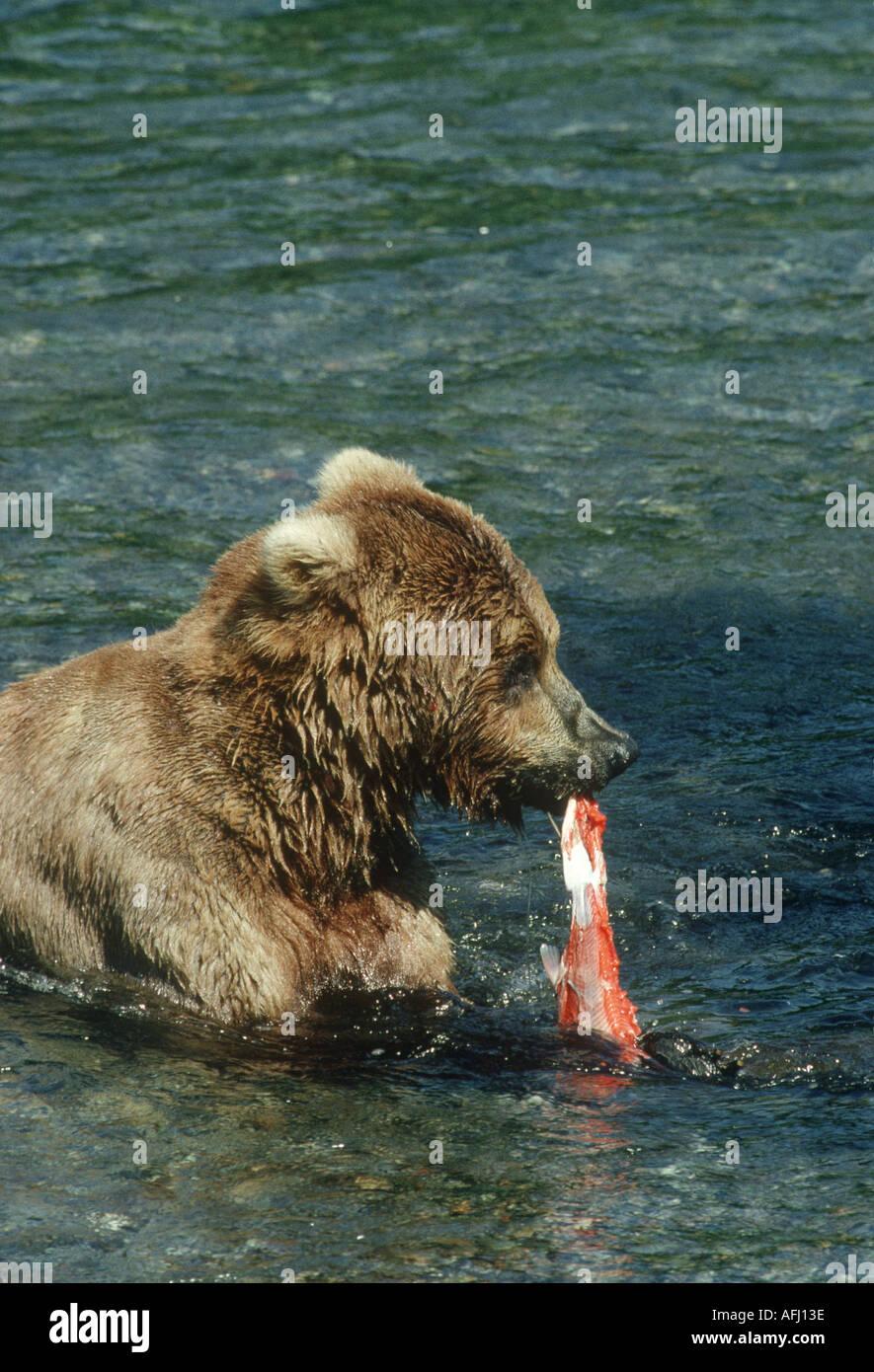 Braune oder grizzly Bär von Lachs ernähren Katmai NP Stockfoto
