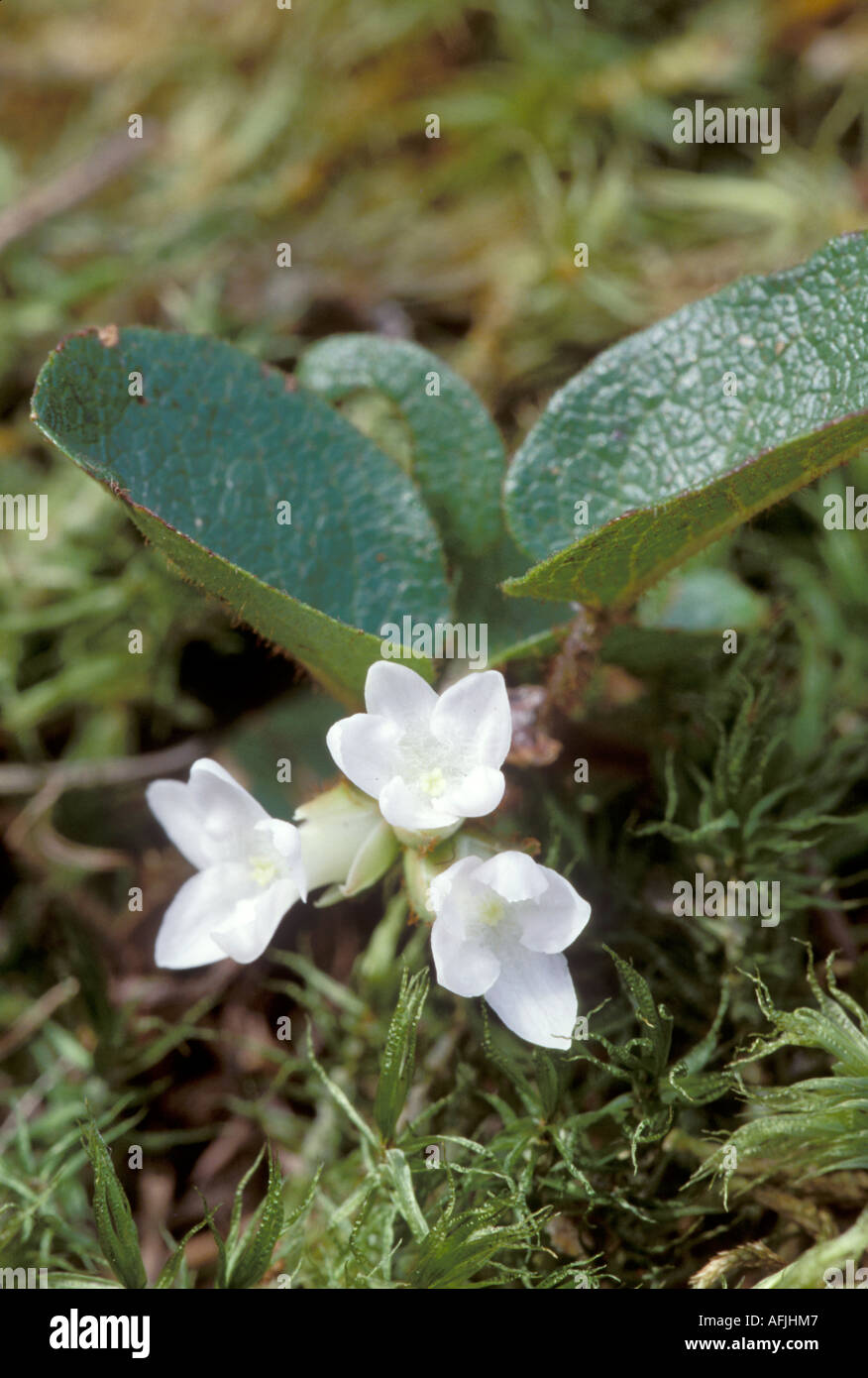 Trailing Arbutus oder Mayflower Epigaea repens Stockbild