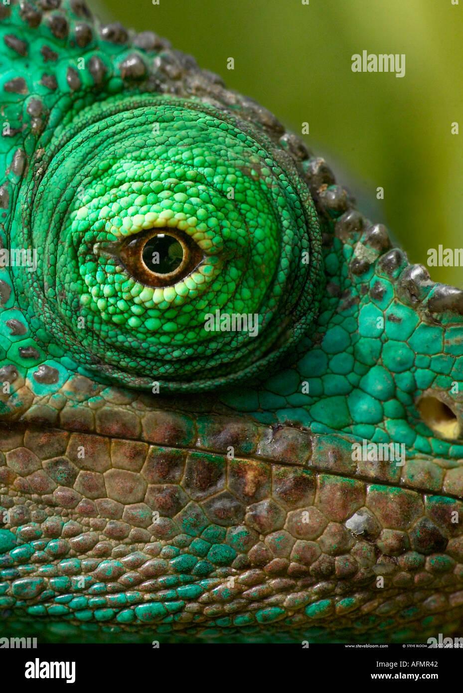 Nahaufnahme des Auges ein Parson s Chamäleon Perinet-Madagaskar Stockbild