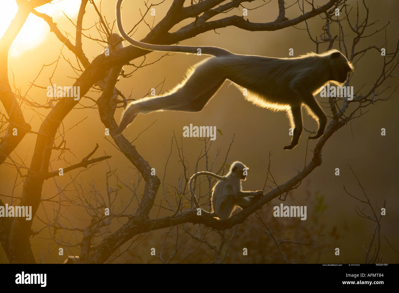 Hanuman-Languren springen durch die Baumwipfel Bandhavgarh Indien Stockbild
