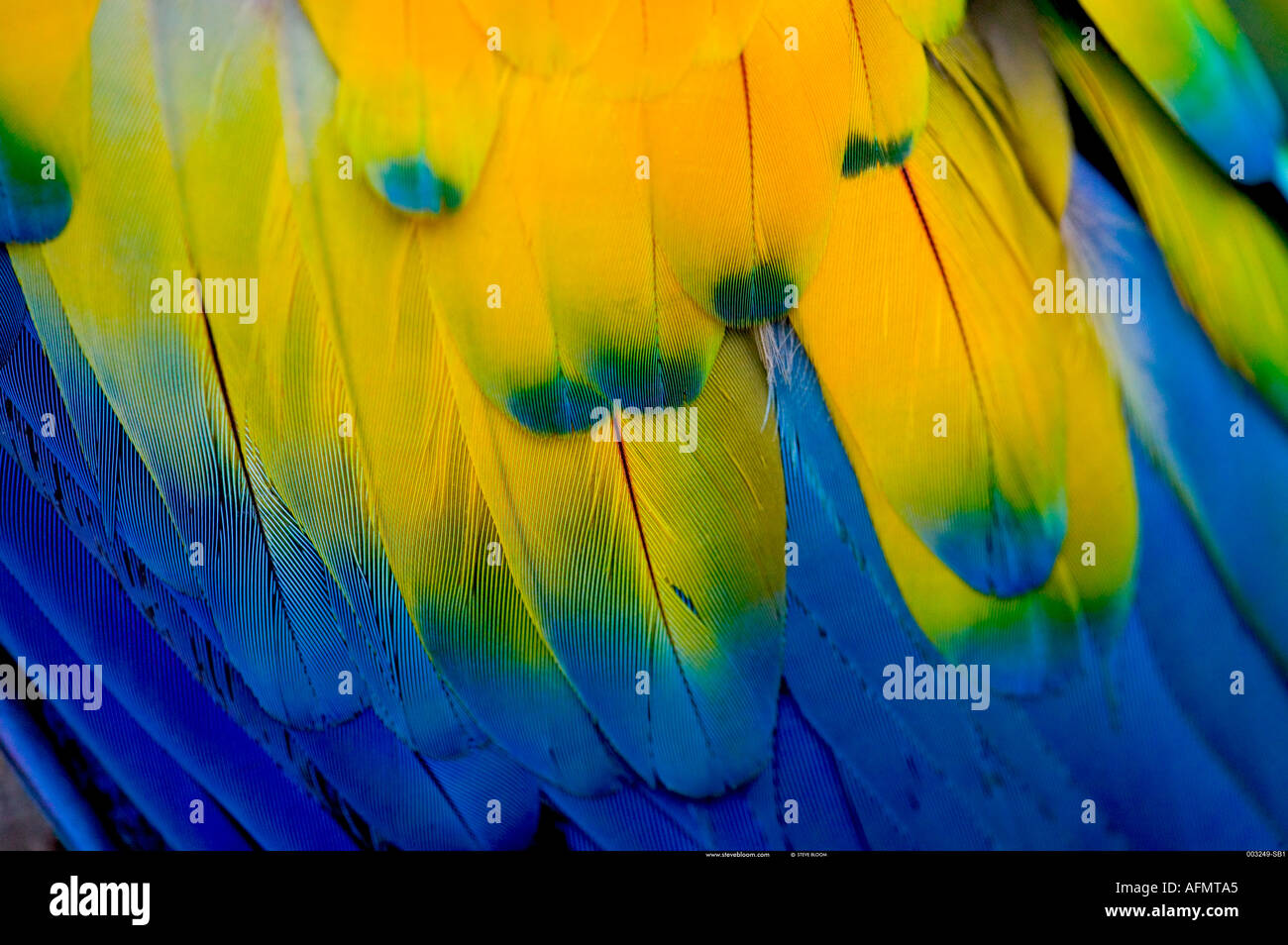 Flügelfedern auf einem hellroten Aras-Honduras Stockbild