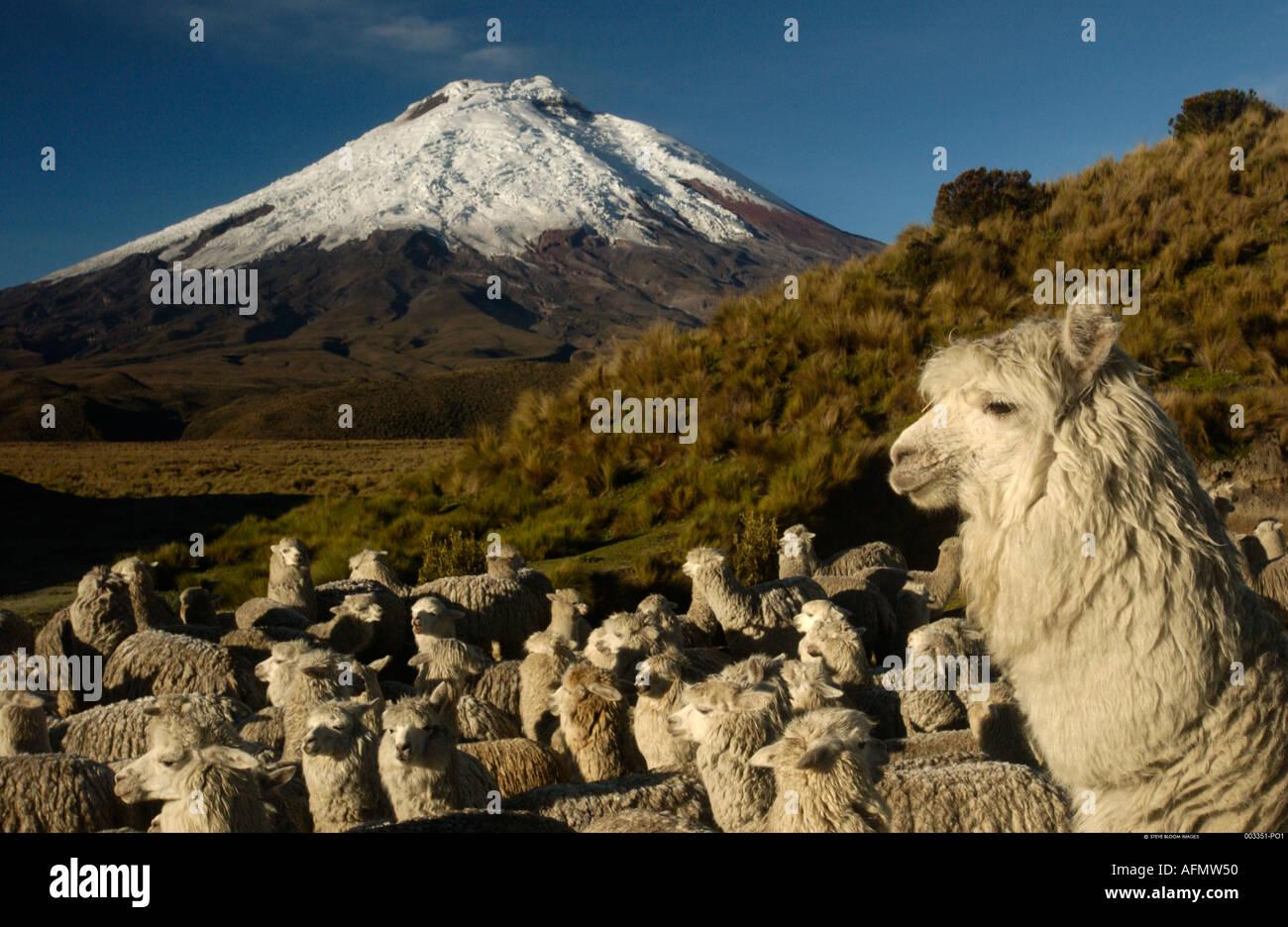 Cotopaxi Vulkan 5897m Alpakas Cotopaxi Nationalpark Anden Ecuador Südamerika Stockbild