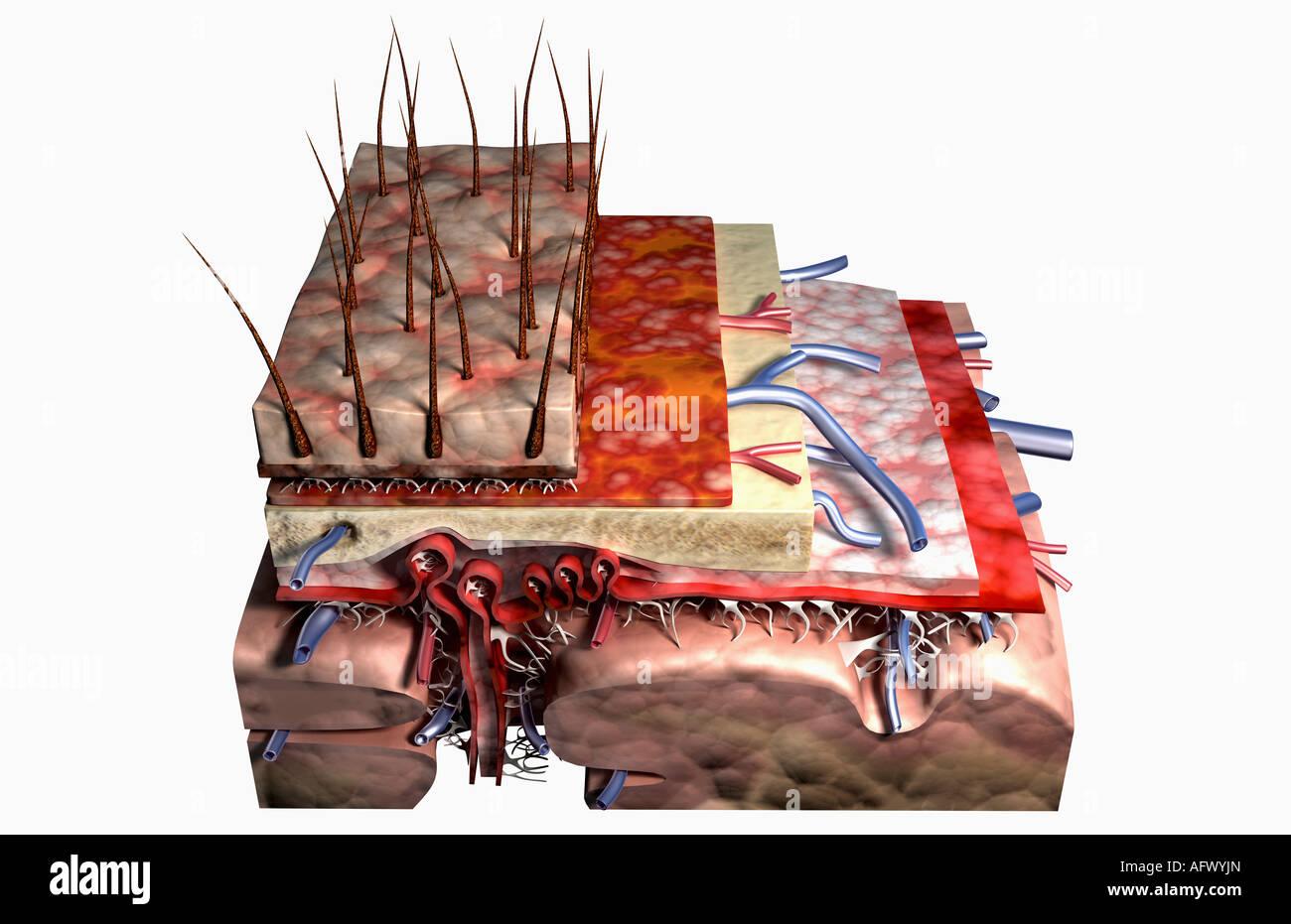 Sektionaltore Anatomie der Kopfhaut Stockfoto, Bild: 14030348 - Alamy