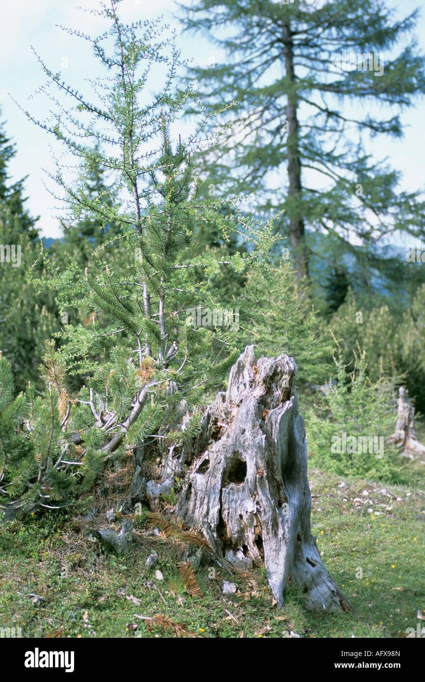 Alter Baumstumpf Halb Verrottet alten faulen Baum Stockbild