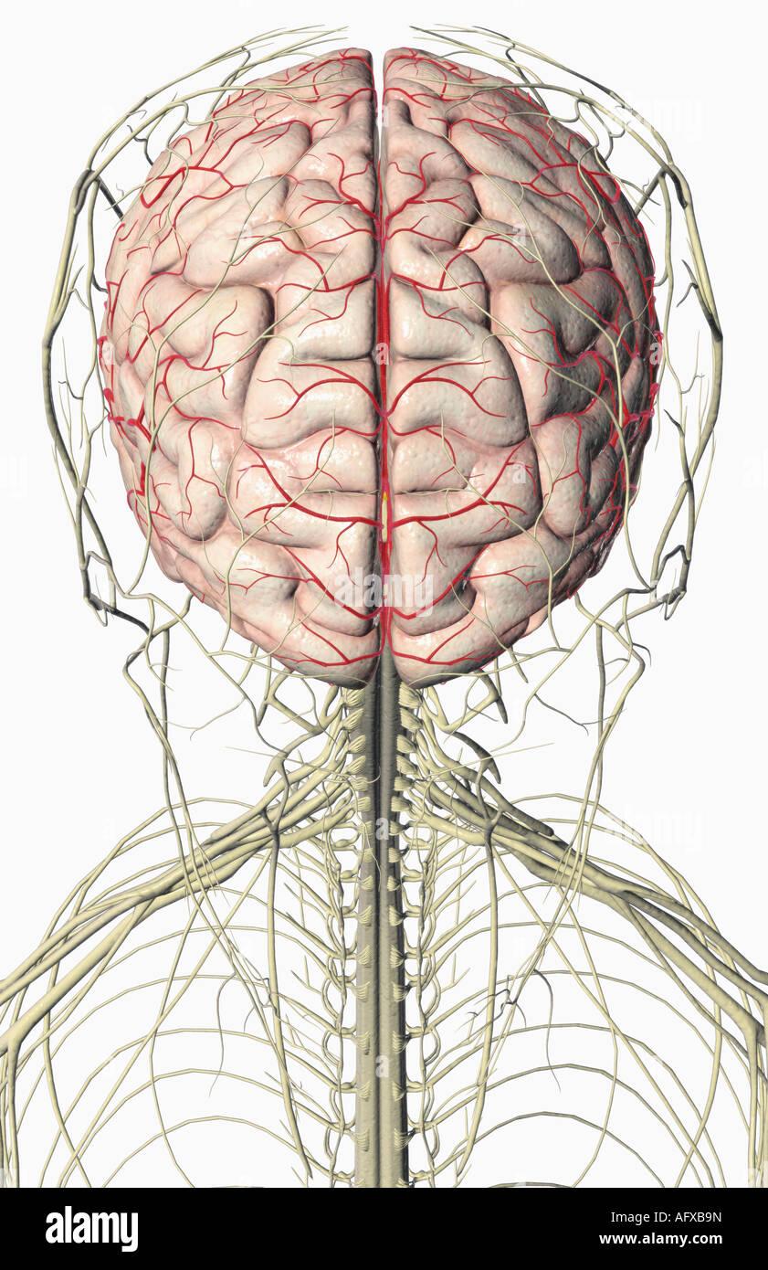 Gehirn und Nerven des Kopfes und des Halses Stockfoto, Bild ...
