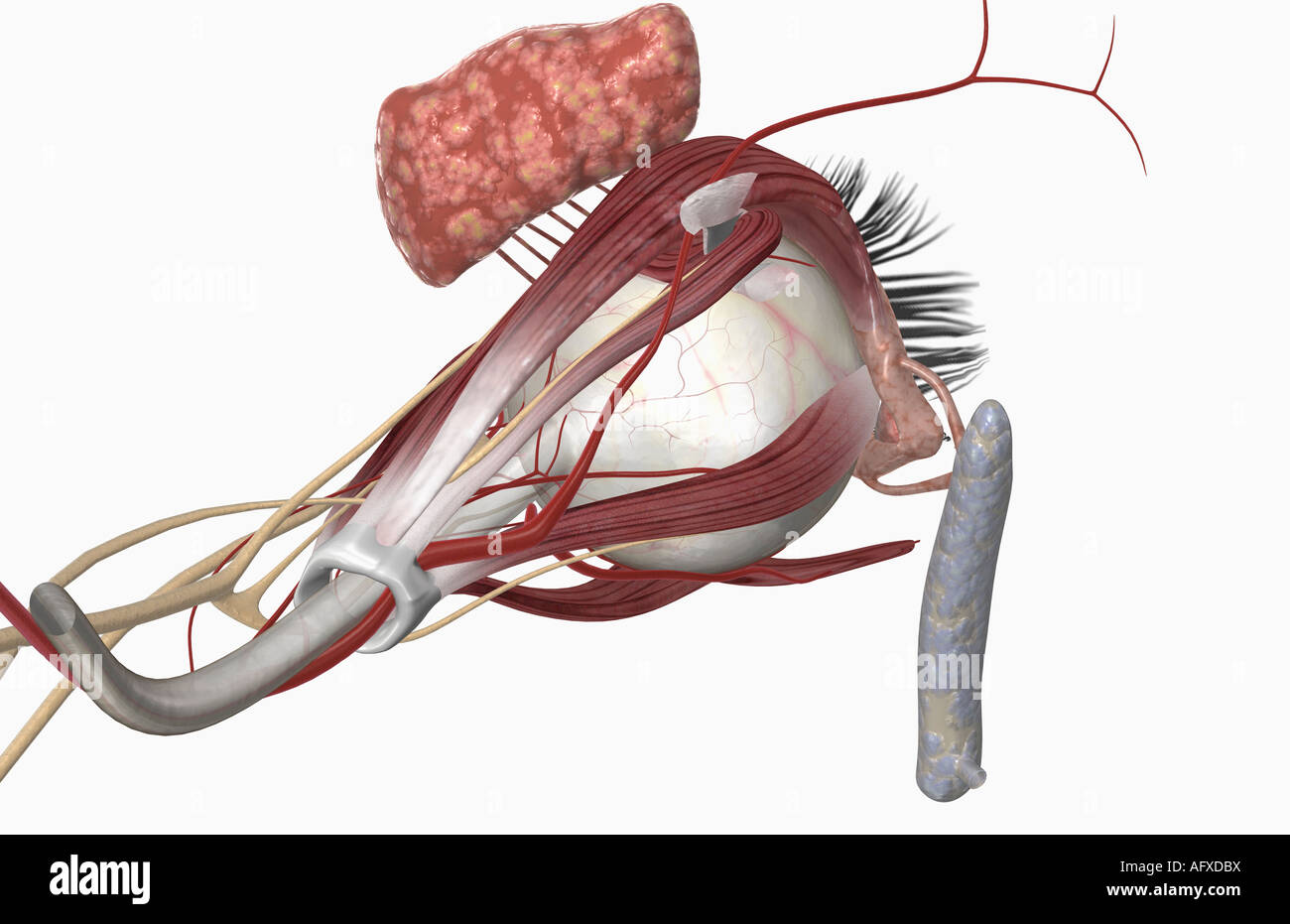 Medial Rectus Muscle Stockfotos & Medial Rectus Muscle Bilder - Alamy
