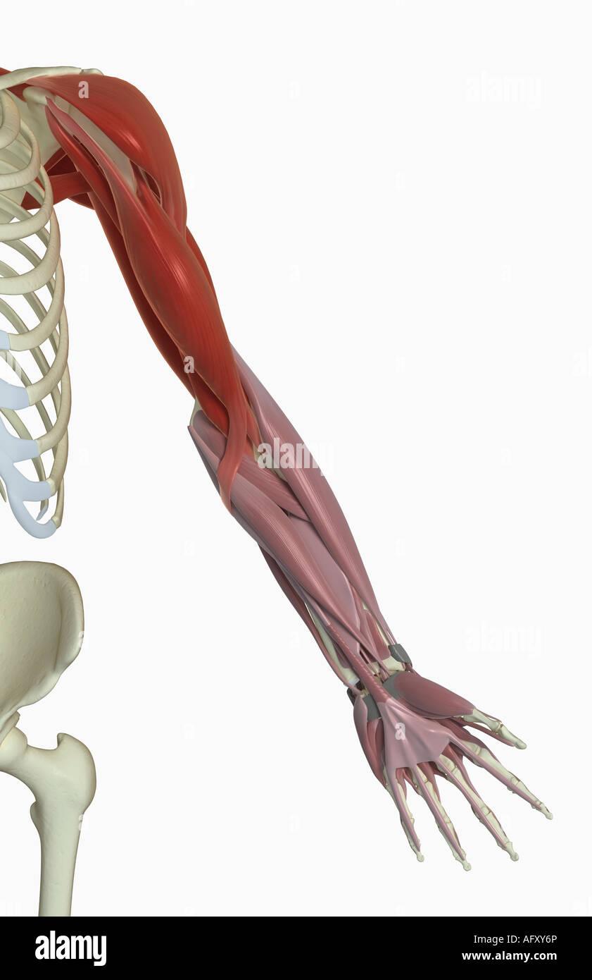 Groß Schulter Arm Muskeln Anatomie Bilder - Menschliche Anatomie ...