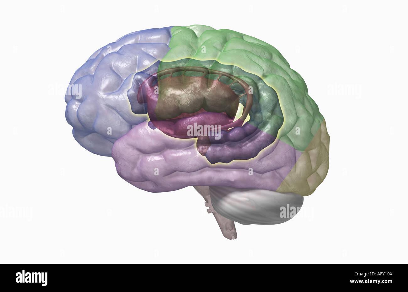 Das limbische system Stockfoto, Bild: 14040217 - Alamy