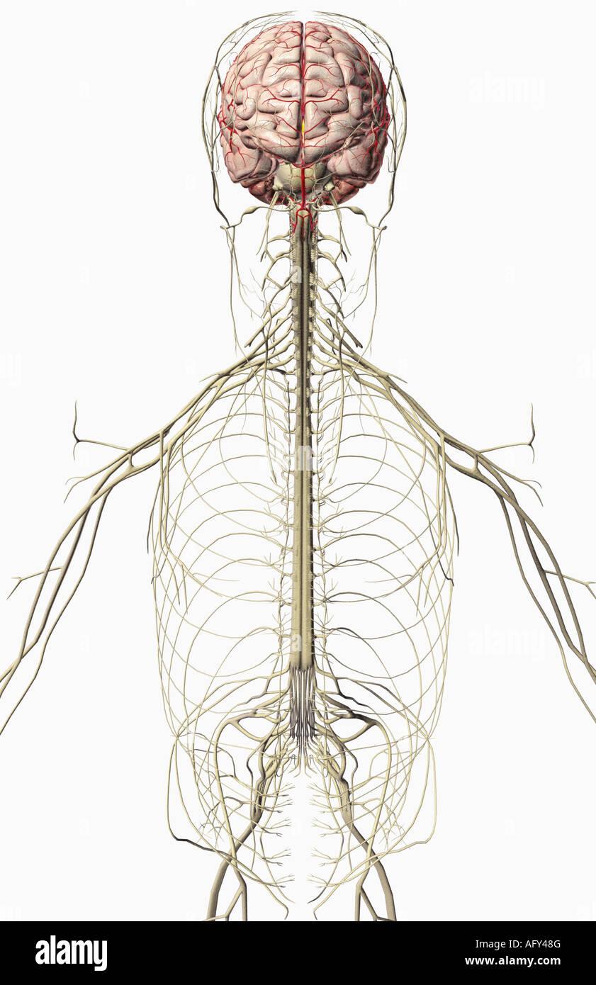 Atemberaubend Zurück Nerven Anatomie Bilder - Anatomie Von ...