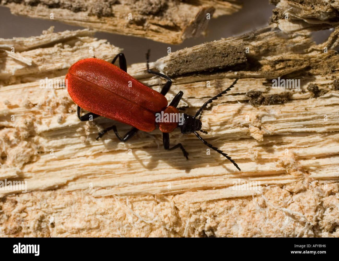 red beetle stockfotos red beetle bilder alamy. Black Bedroom Furniture Sets. Home Design Ideas