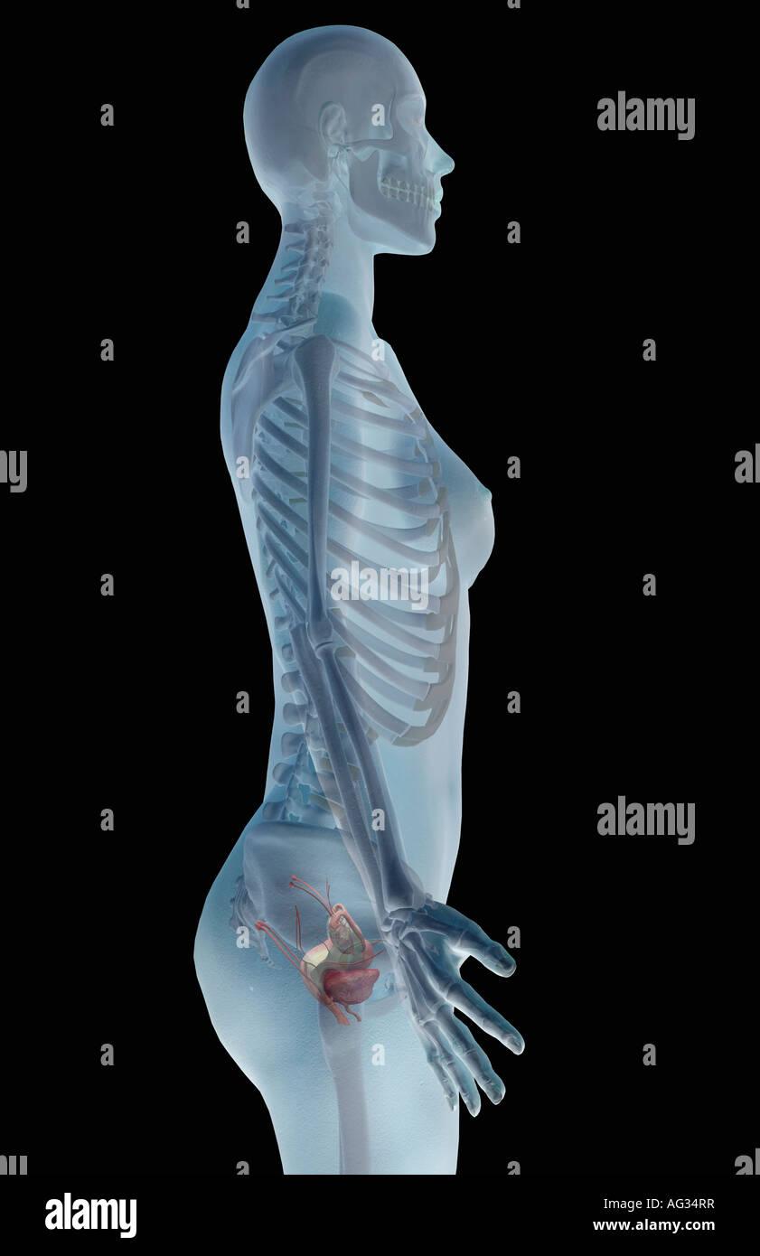 Ziemlich Menschliche Körper Fortpflanzungssystem Bilder Fotos ...