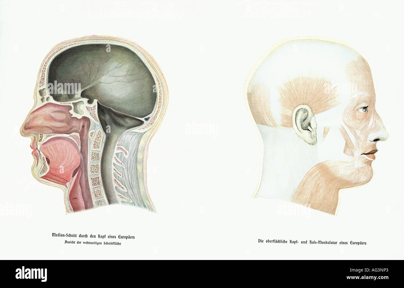 Medizin, Anatomie, Links: Median durchschneiden Kopf, rechts ...