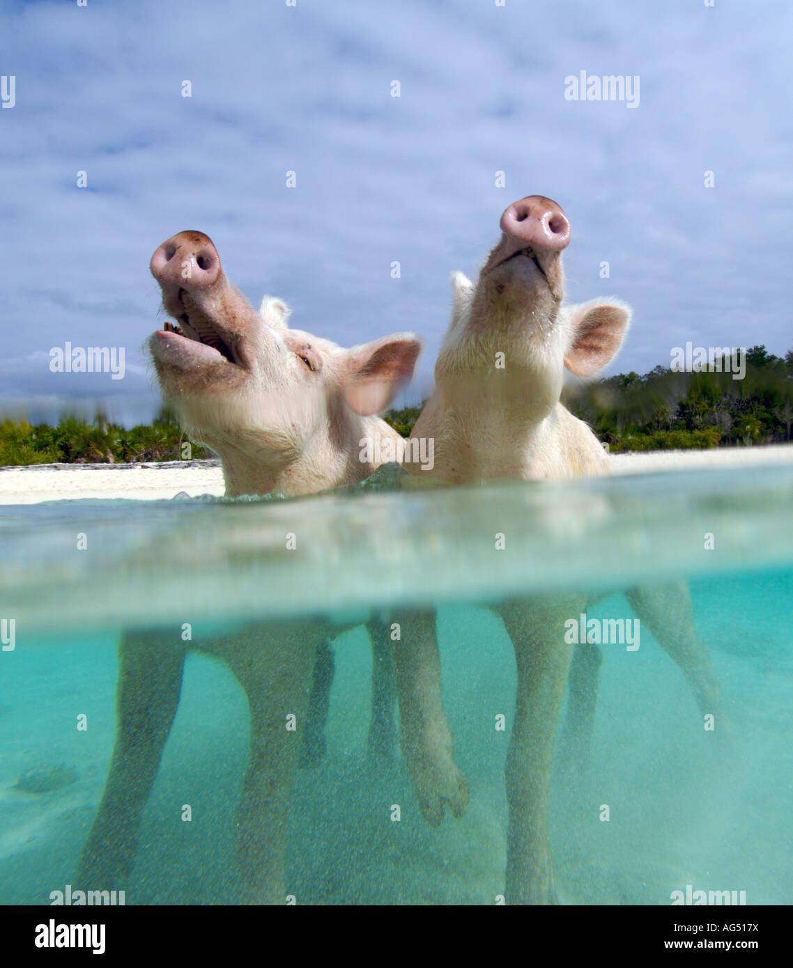 schweine im tropischen wasser an einem strand auf den bahamas steht stockfoto bild 14096749. Black Bedroom Furniture Sets. Home Design Ideas