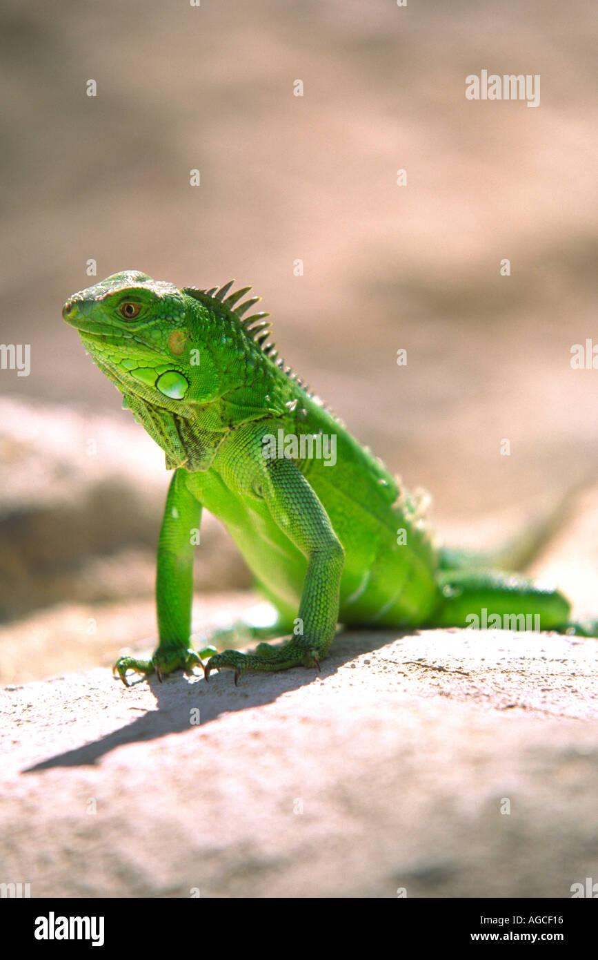 Ein grüner Leguan posiert für ein Foto in der schönen Insel Aruba Stockfoto