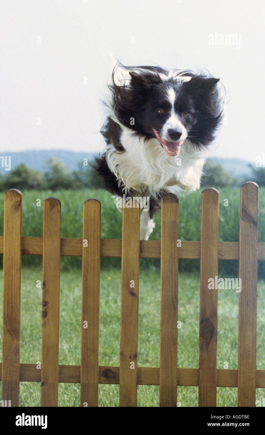 Border-Collie Hunde - Zaun überspringen Stockfoto, Bild: 4629693 - Alamy