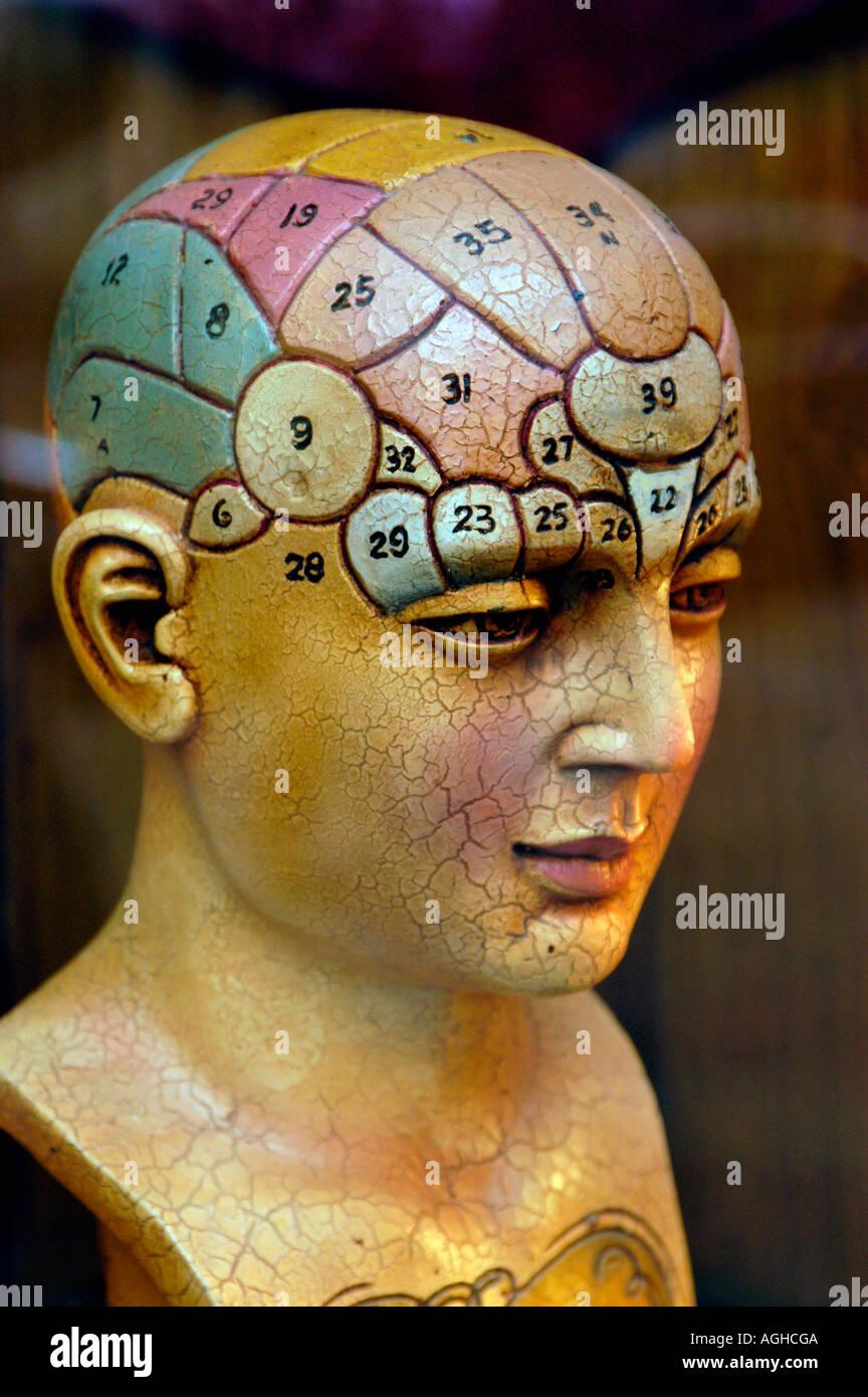 ein Modell des menschlichen Gehirns Stockbild