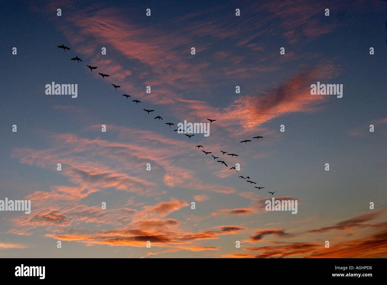 Migrierende Gänse im Herbst - Radley Oxfordshire 3 Stockbild