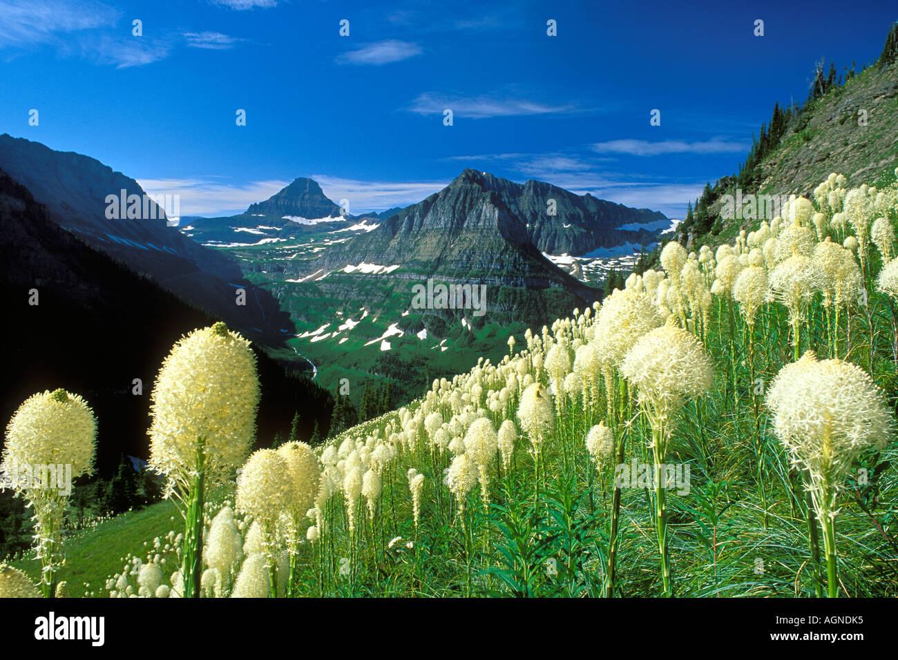 Tragen Sie Rasen Wildblumen Glacier Nationalpark Montana Stockbild