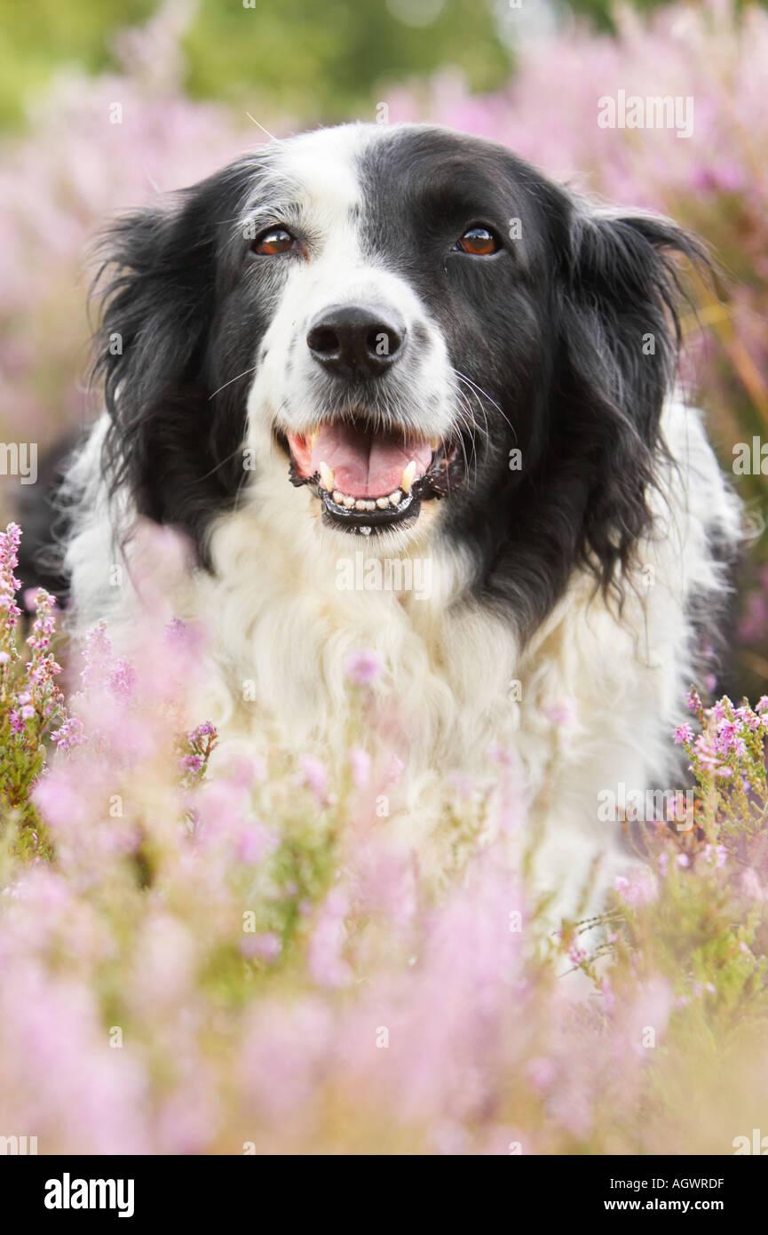 Collie Hund hocken in lila Heidekraut Stockbild