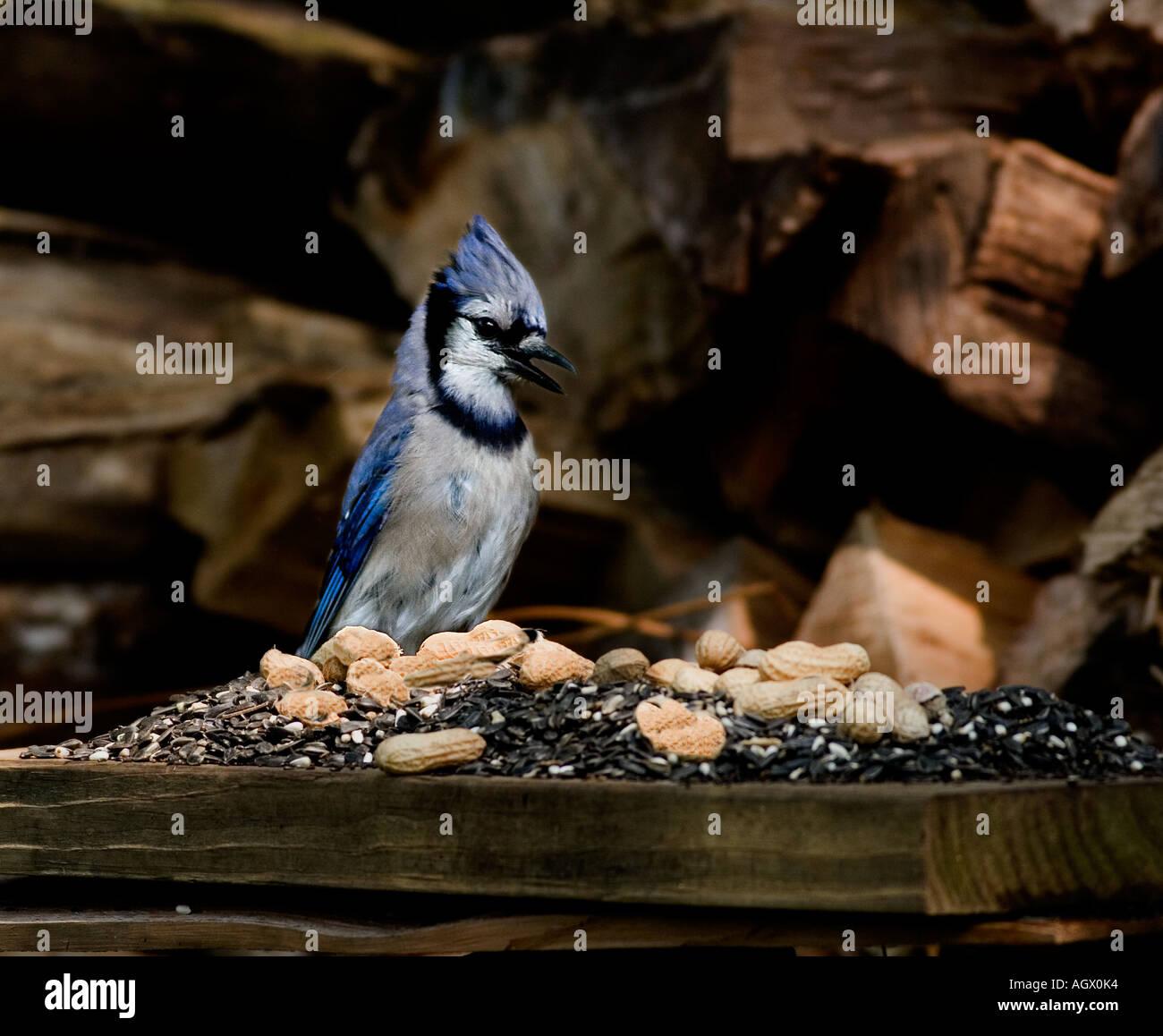 BlueJay Federn bis auf einen Haufen Erdnüsse und Sonnenblumenkerne durch den Holzhaufen. Stockbild
