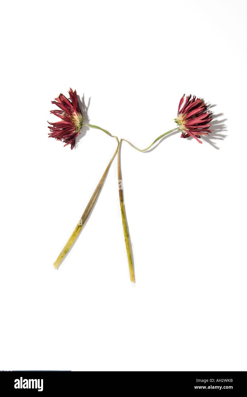 Rote Blumen auf weißem Hintergrund, Studio gedreht Stockfoto