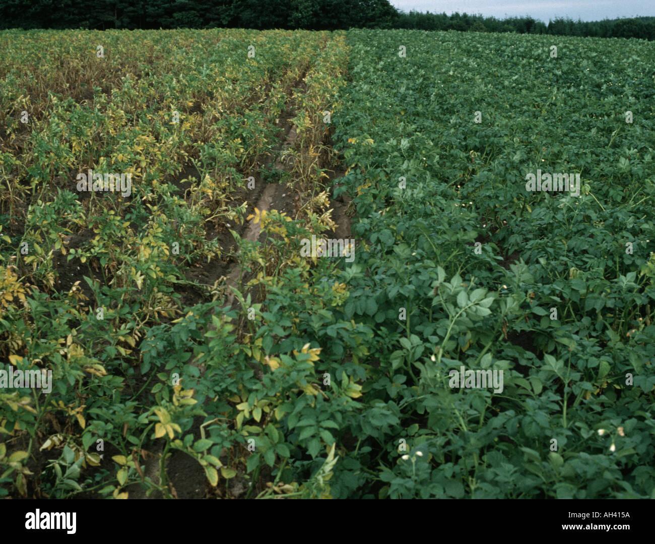 Zwei Sorten von Kartoffeln, die man beständig die anderen anfällig für Goldene Kartoffel Zyste nematode Globodera rostochiensis Stockbild