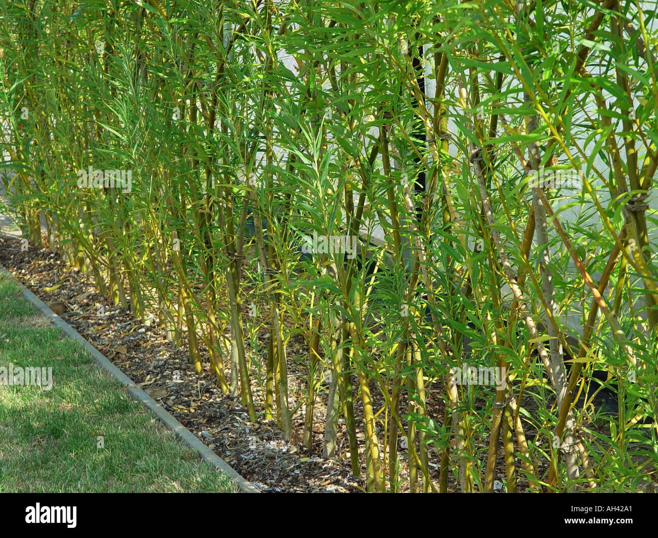 Fedge eine Hecke Zaun von verwobenen Weide salix Stockfoto Bild