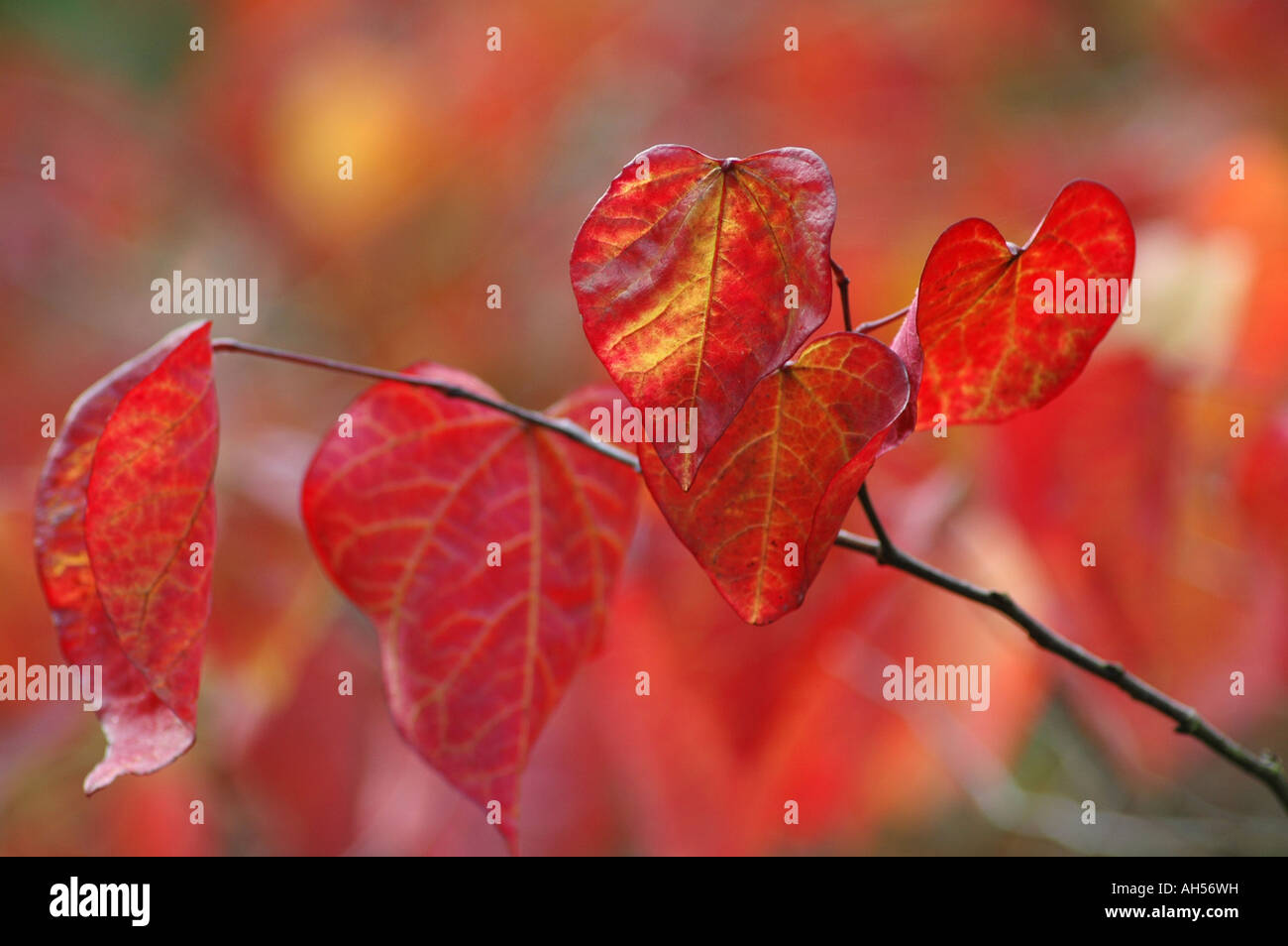Winterharte Garten Strauch mit großen Herbstlaub Farbe rot-orangen und Gold auf den Blättern Stockbild