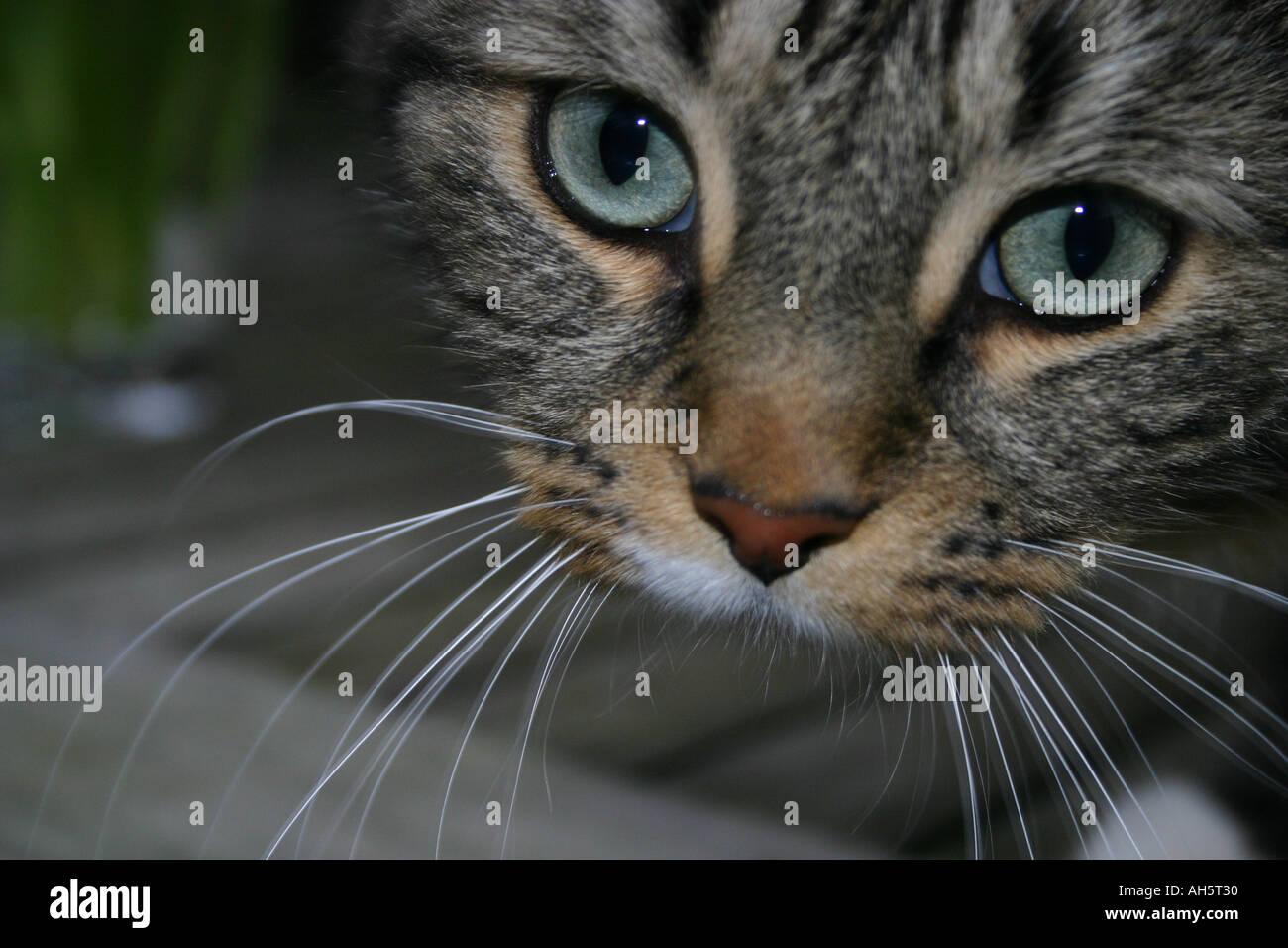Langhaarige Tabby Katze Nahaufnahme Kopf Schuss füllen den Rahmen ...