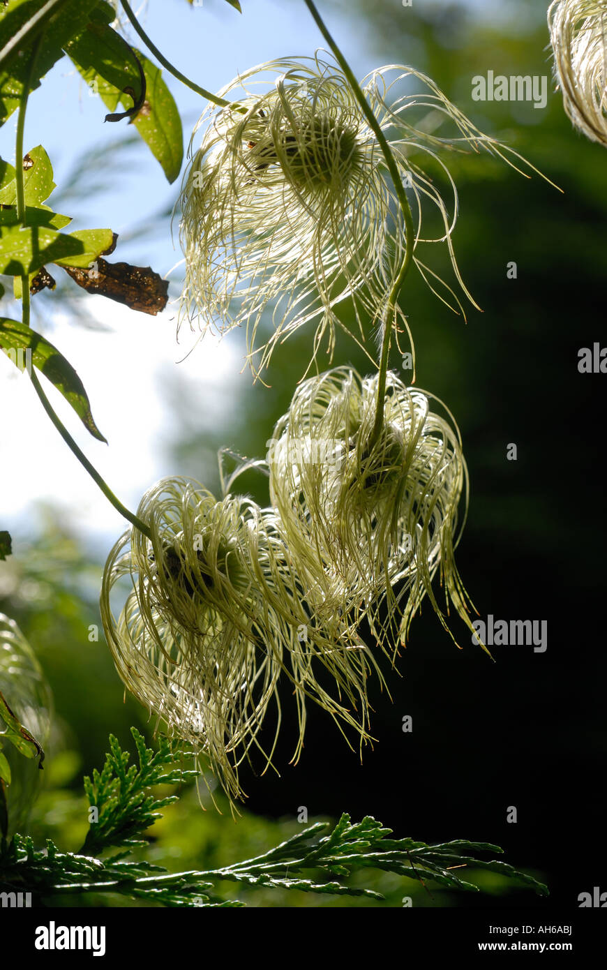 hairy clematis stockfotos hairy clematis bilder alamy. Black Bedroom Furniture Sets. Home Design Ideas
