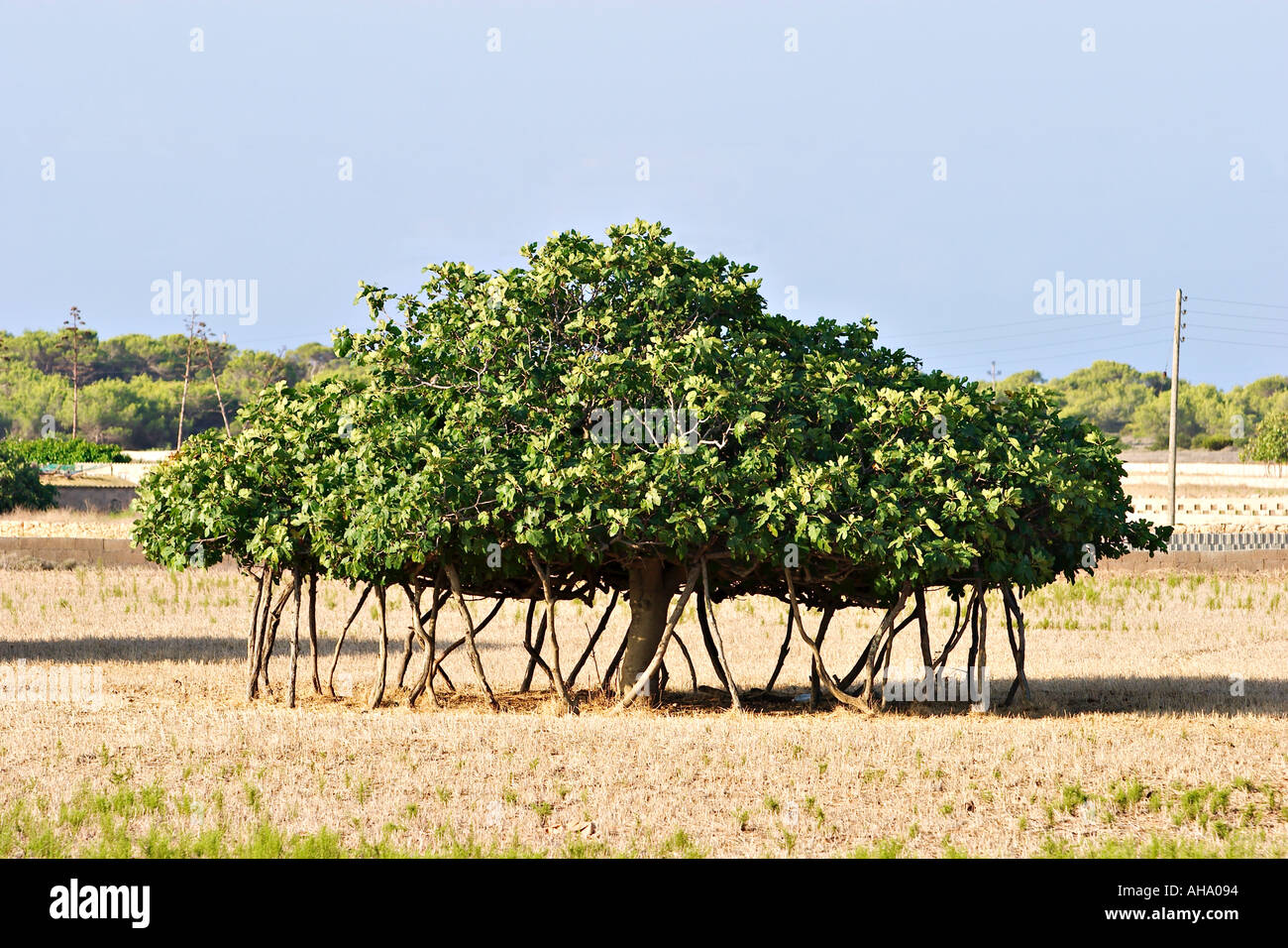 feigenbaum ficus carica auf formentera stockfoto bild. Black Bedroom Furniture Sets. Home Design Ideas