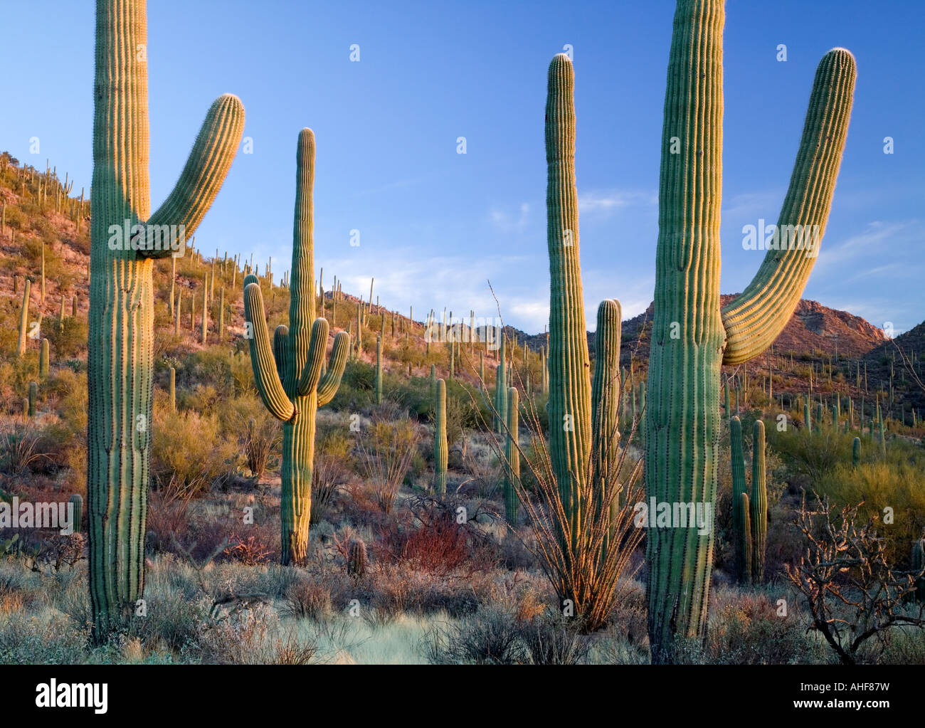 Saguaro-Kaktus in der Sonora-Wüste in der Nähe von Tucson, West-Einheit, Saguaro National Park, Arizona USA Stockfoto