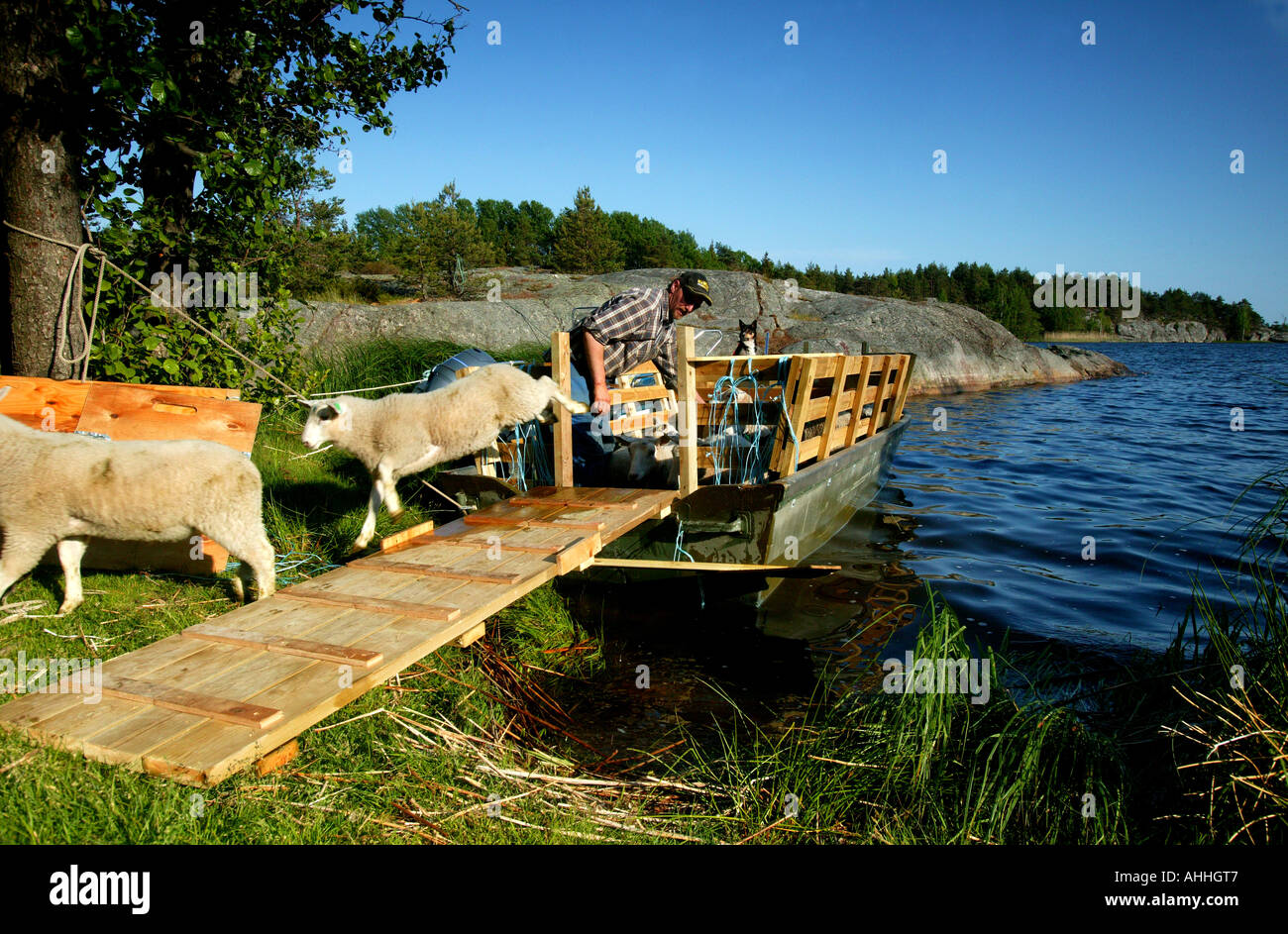 Schafe springen aus einem Boot für Sommerurlaub auf der Insel Østenrødøya in den See Vansjø, Råde Kommune, Østfold Fylke, Norwegen. Stockbild