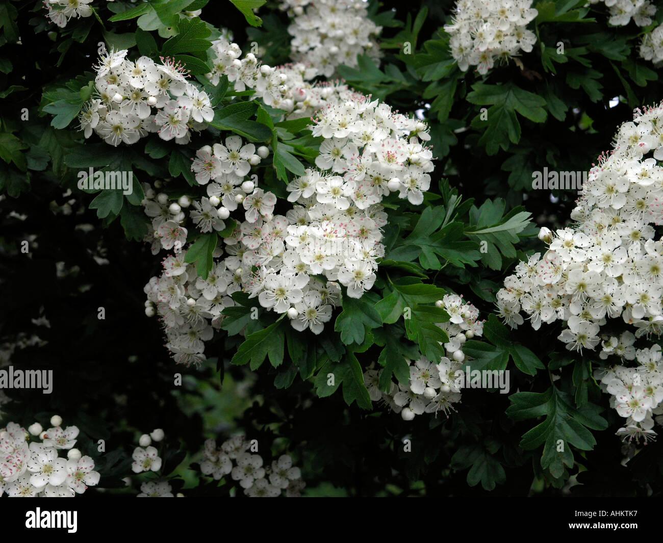 Weissdorn Blüte Stockfoto