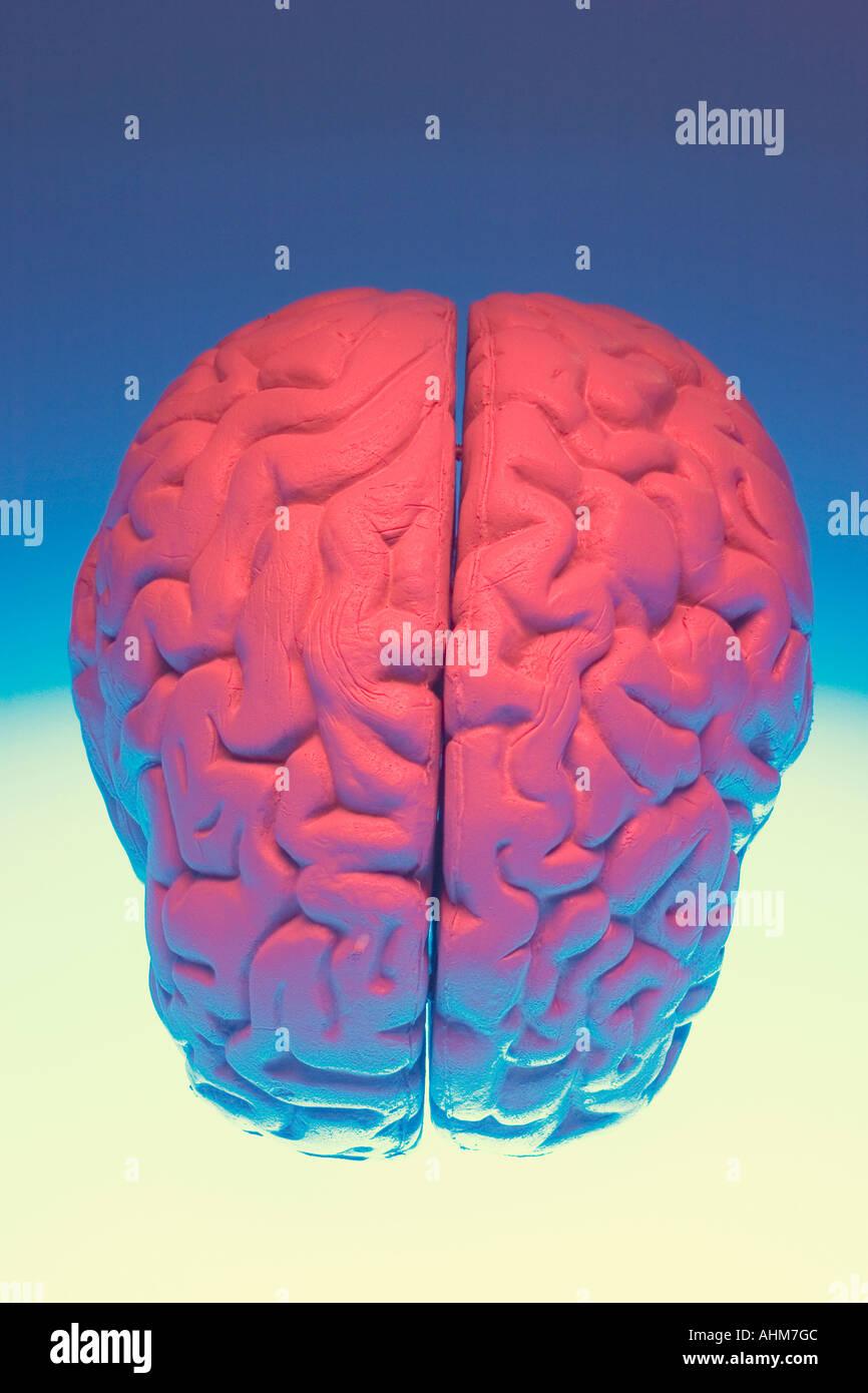 Berühmt Anatomie Des Gehirns Spiele Galerie - Menschliche Anatomie ...