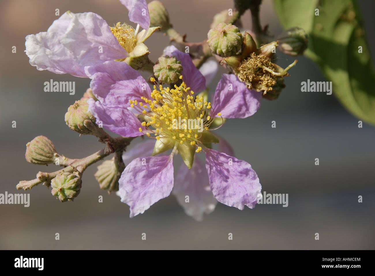 Detail Von Einem König Der Blumen Blühen Von März Bis Juni In