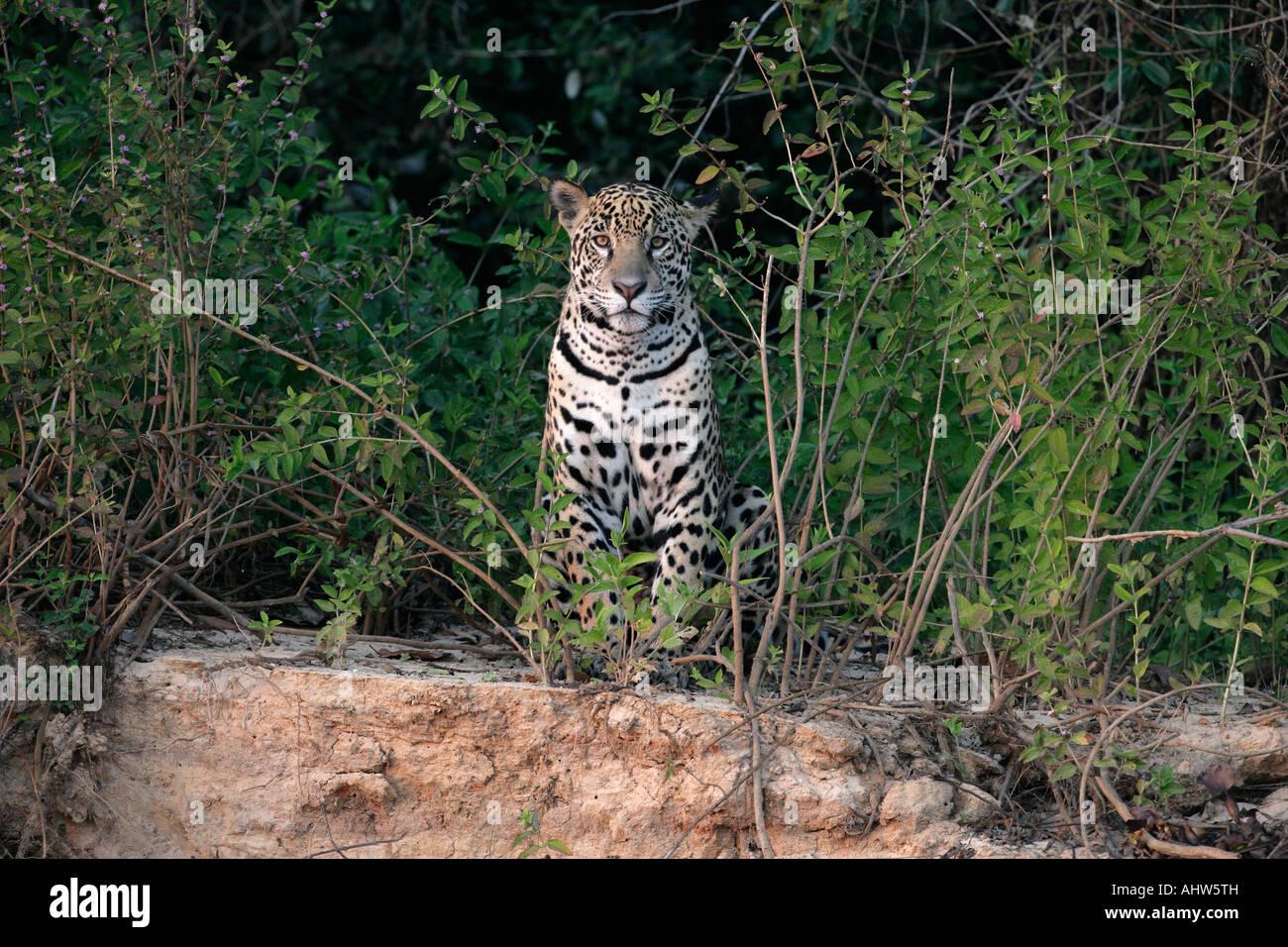 Jaguar Panthera Onca Pantanal-Brasilien Stockbild