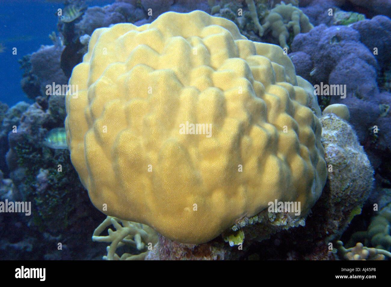 Massive Porites sp Ailuk Korallenatoll Marshallinseln Pacific Stockbild