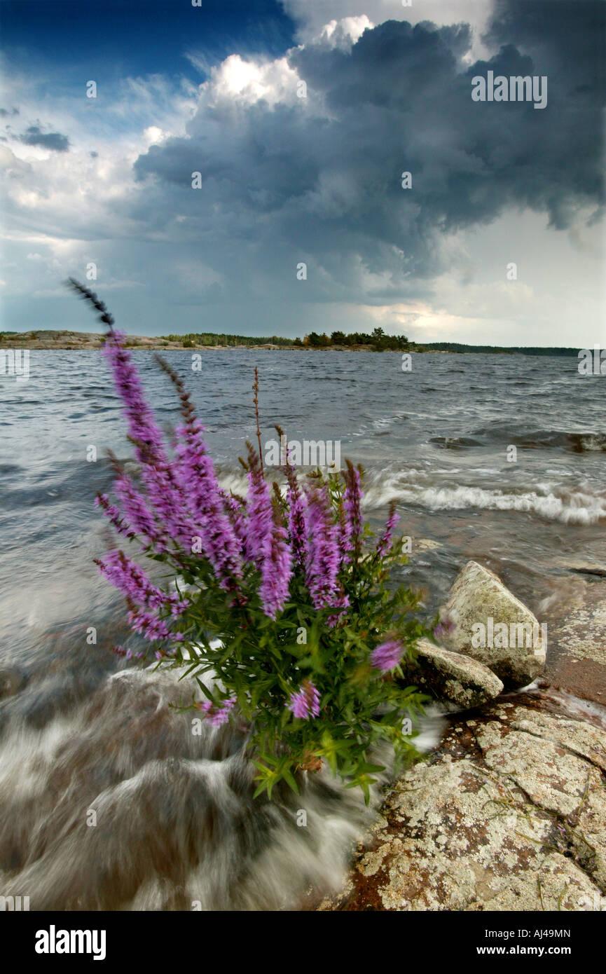 Blutweiderich wildflower, Lythrum saliaria, an Moskjaera im See Vansjø, råde Kommune, Østfold fylke, Stockbild