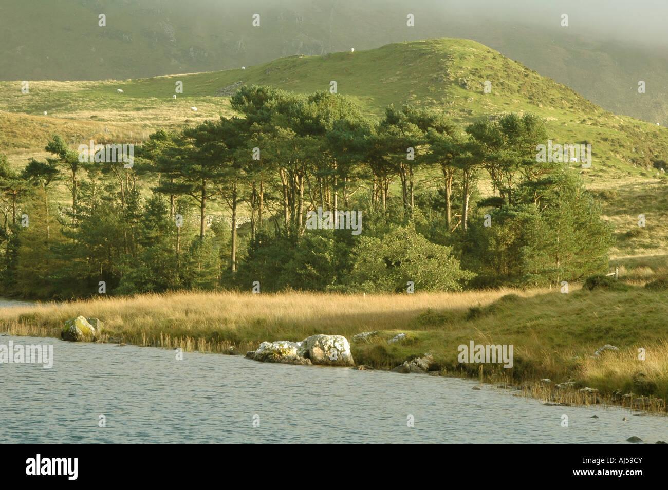 Wäldchen von Kiefern im Herbst Sonne Licht - Snowdonia - Llynnau Cregennen Seen Stockbild