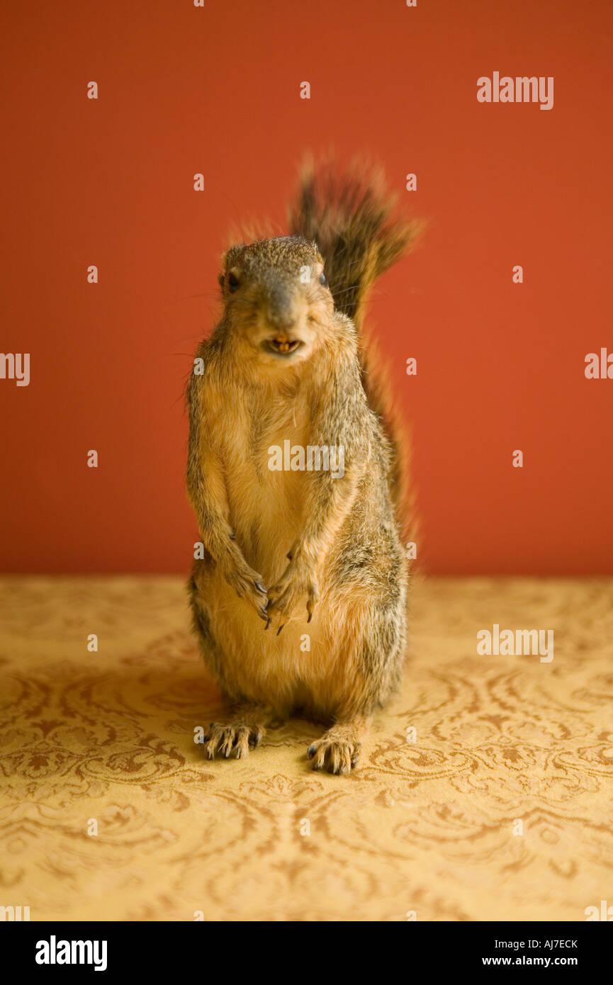 Eichhörnchen im Inneren bis auf Hinterbeinen und Tail auf Betrachter zugewandt Stockbild