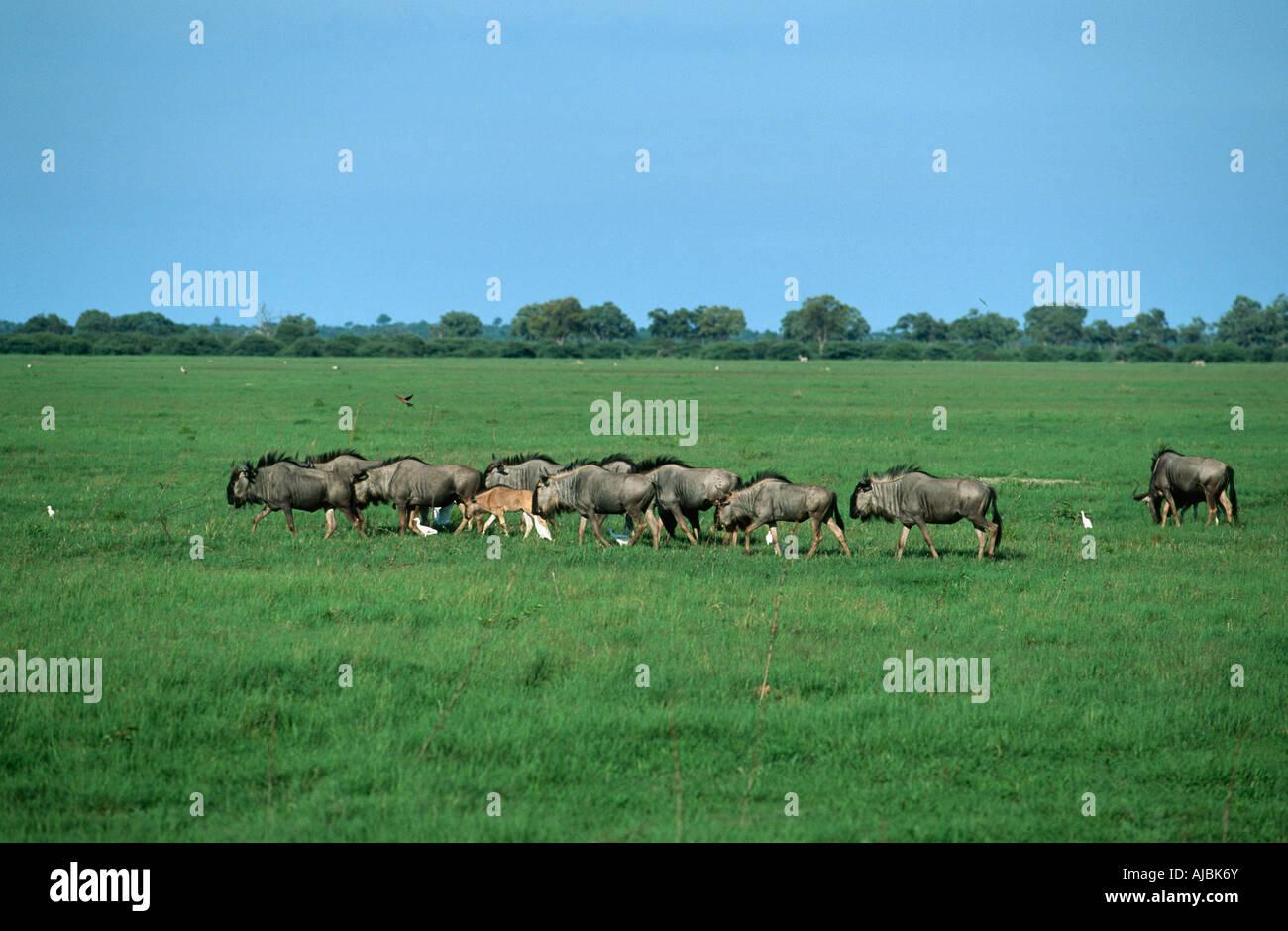 Totale der Migration von einer Herde von Gnus (Connochaetes Taurinus) Stockbild