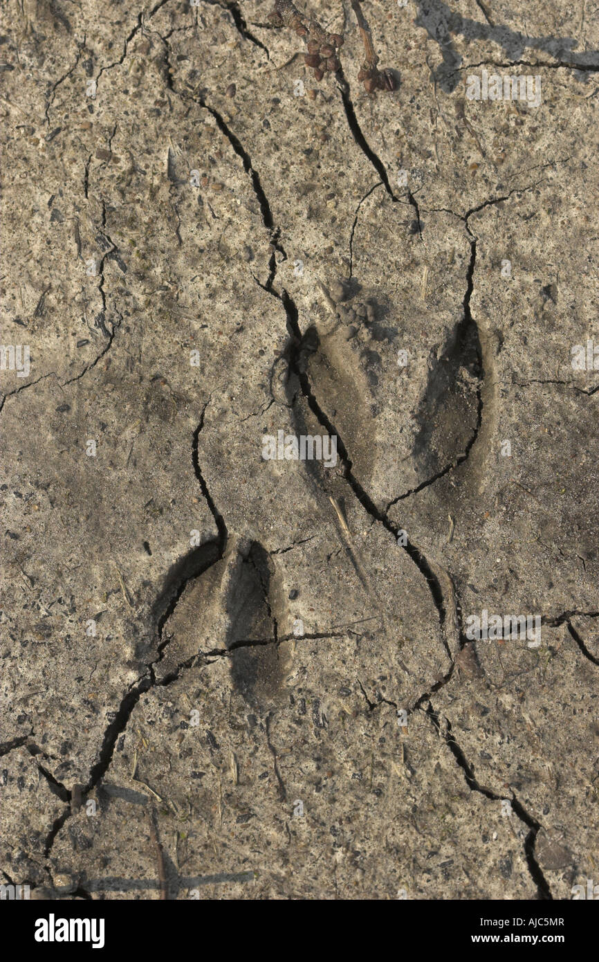 Reh (Capreolus Capreolus), Fußspuren des Rehwildes Stockbild