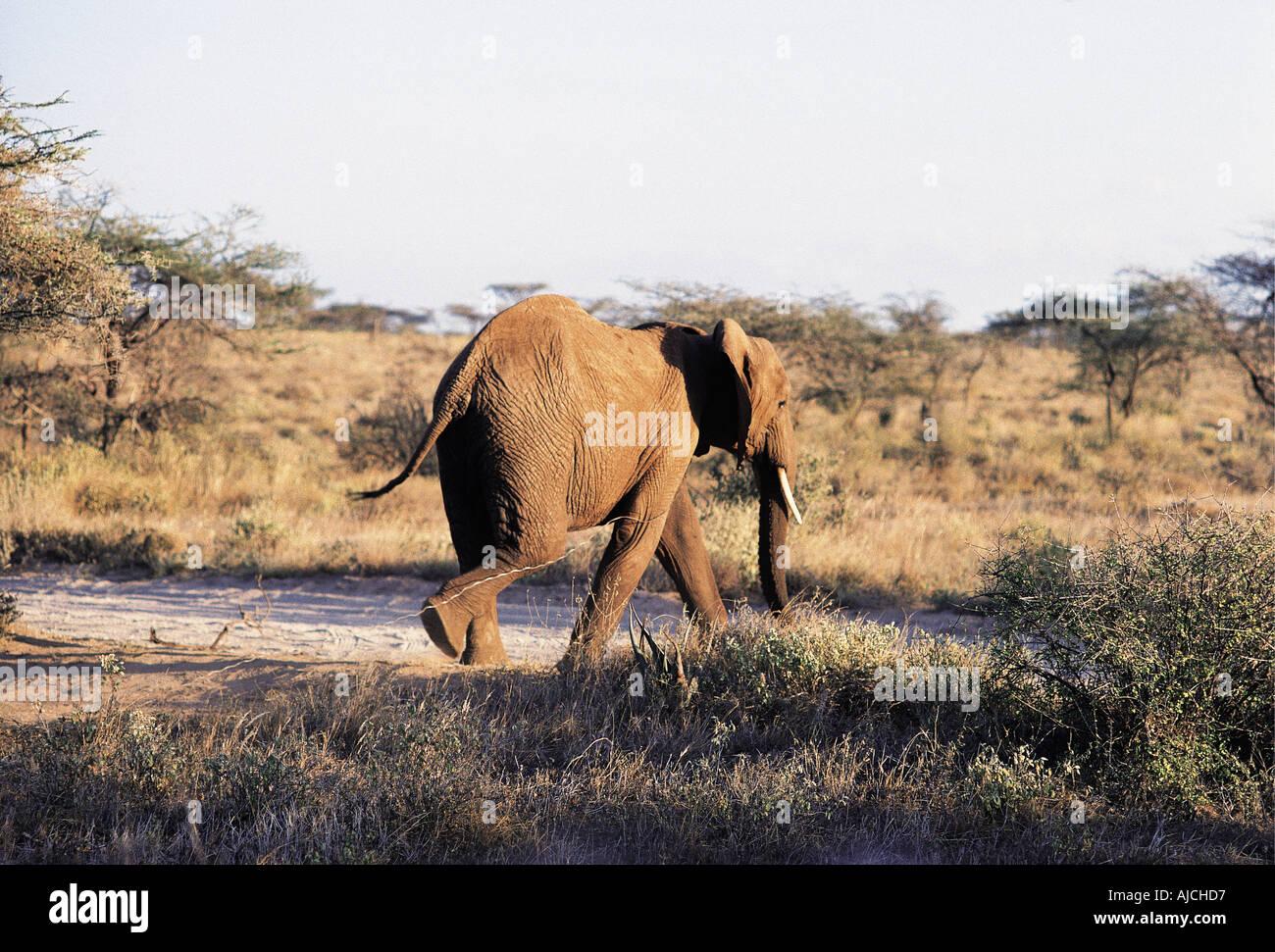 Junger Elefant ziehen eine Draht-Schlinge um den Hals Samburu ...