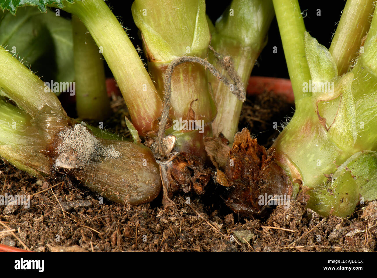 Botrytis grey mould stockfotos botrytis grey mould bilder alamy - Begonie zimmerpflanze ...