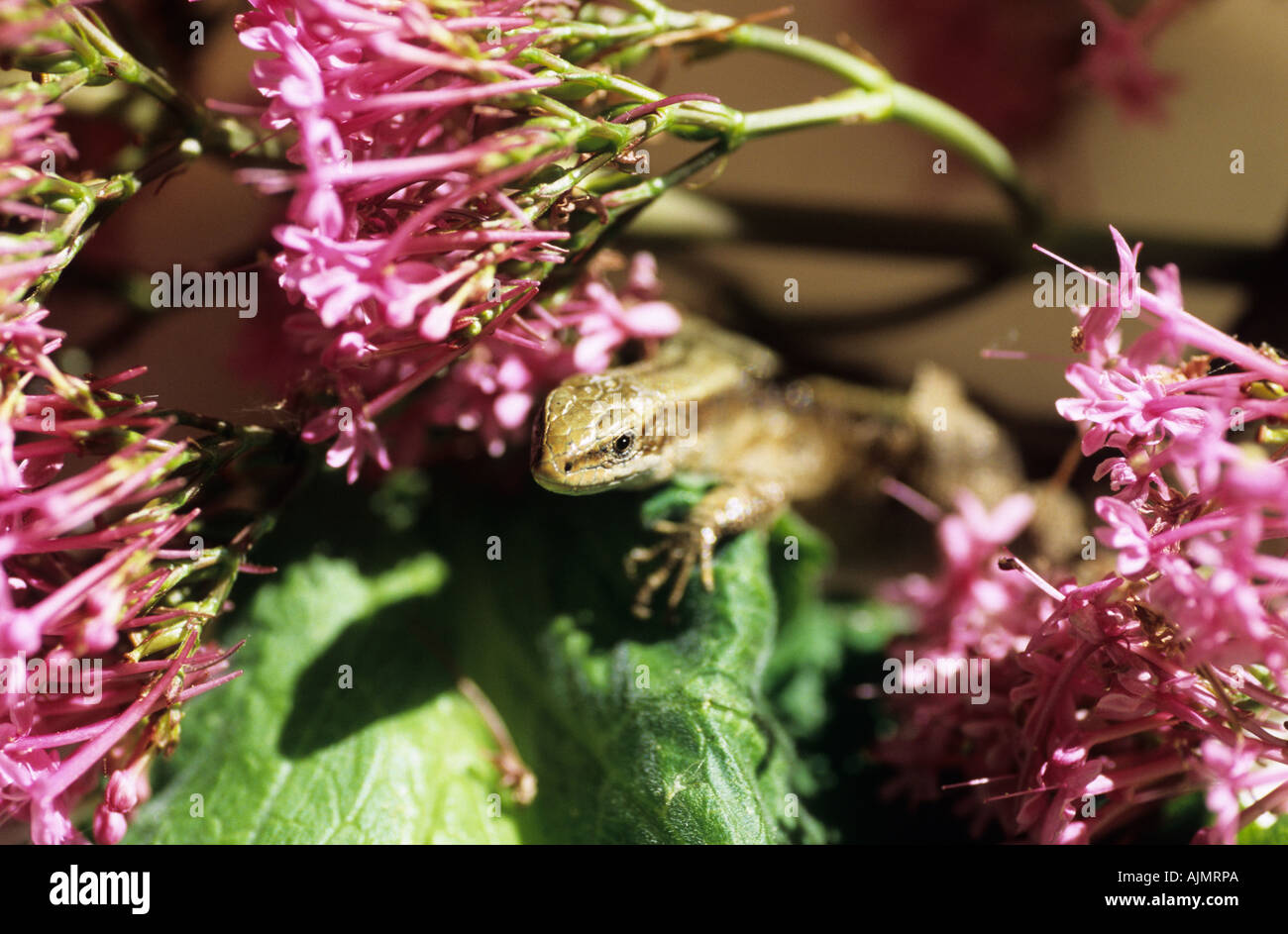 Gemeinen Eidechse, lebendgebärend Eidechse Lacerta vivipara Stockfoto