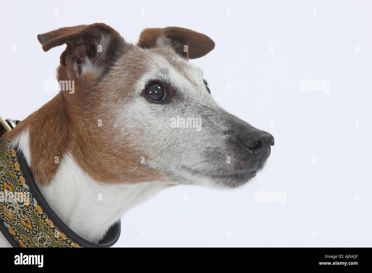 Foxterrier Stockfotos & Foxterrier Bilder - Alamy