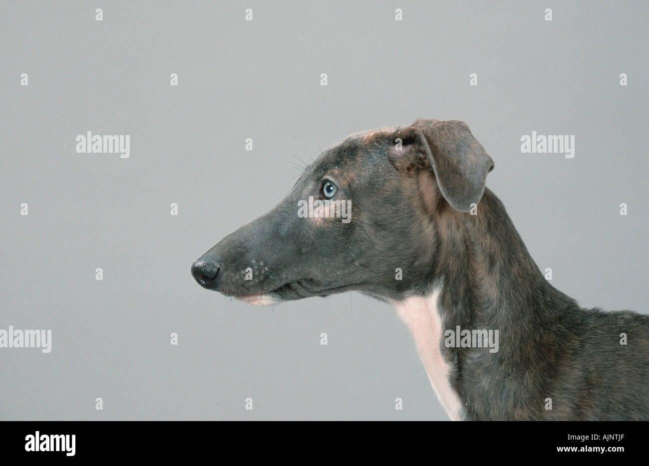 Spanischen Windhund Welpen 12 Wochen Galgo Espanol Seitenprofil
