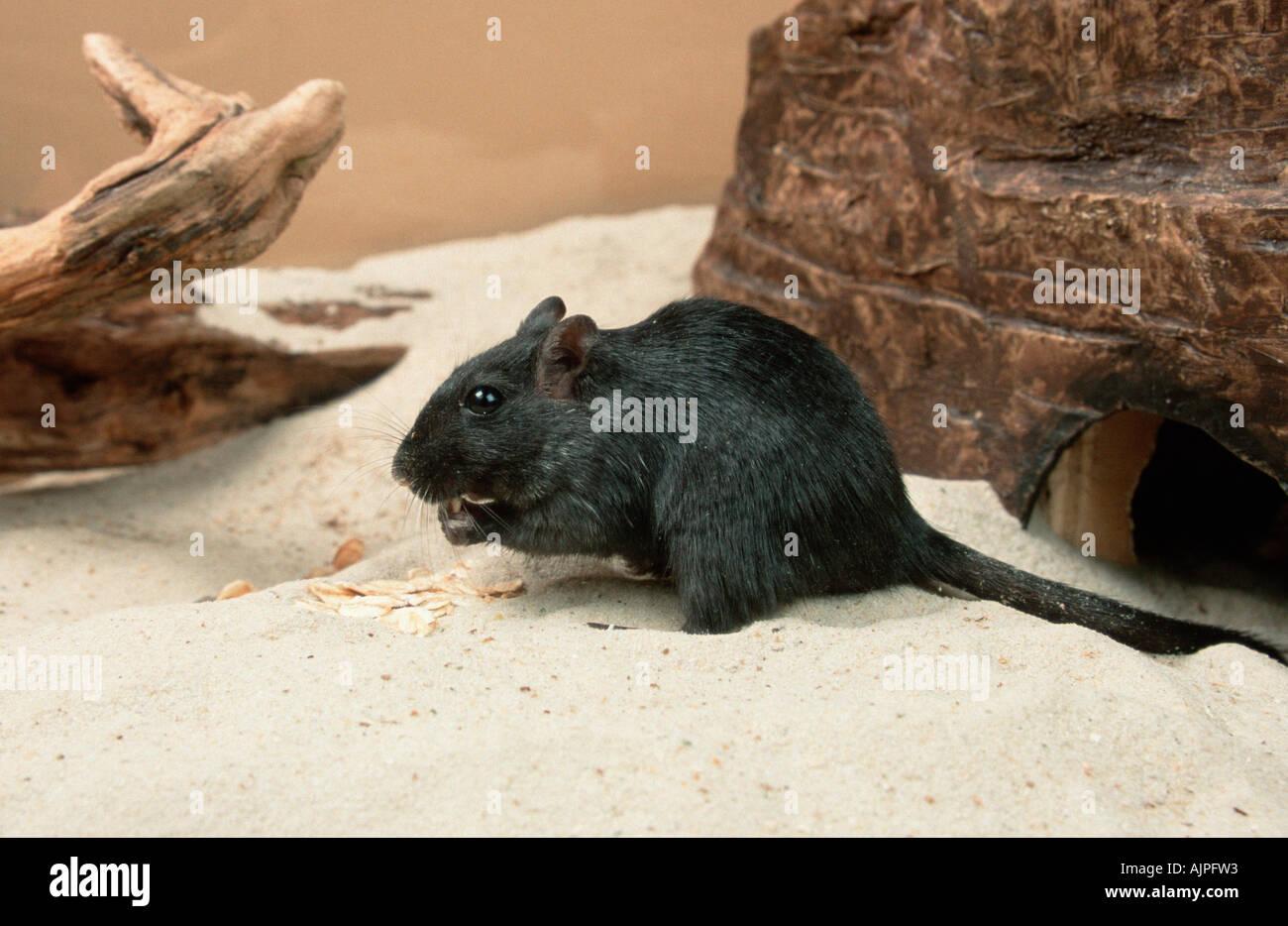 Schwarze Rennmaus Meriones unguiculatus Stockbild