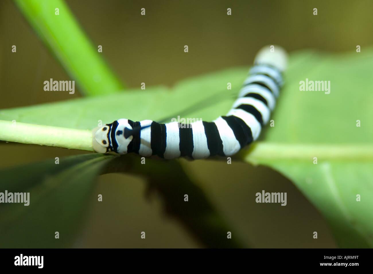 Sphingidae Motten Larven auf Blatt Mamirauá nachhaltige Entwicklung reservieren Amazonas Brasilien Stockbild